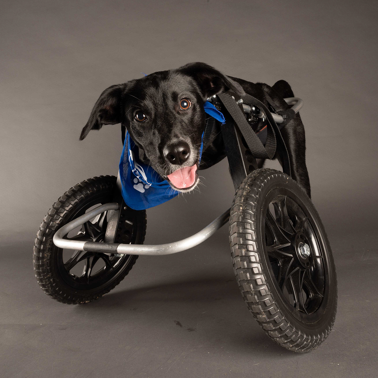 Jett in his wheelchair with the Puppy Bowl, Team Fluff
