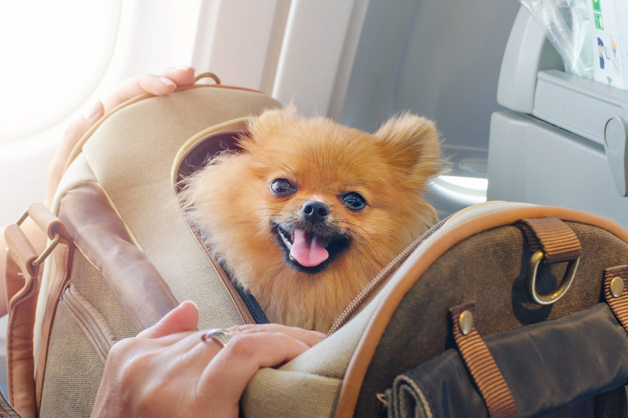 pomeranian in travel bag on plane