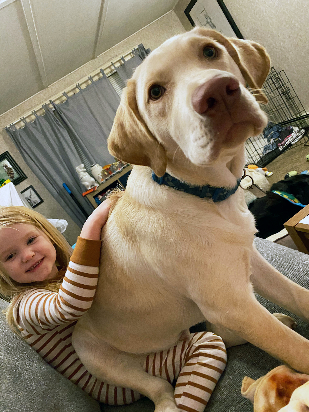 Big white lab sits on child's lap
