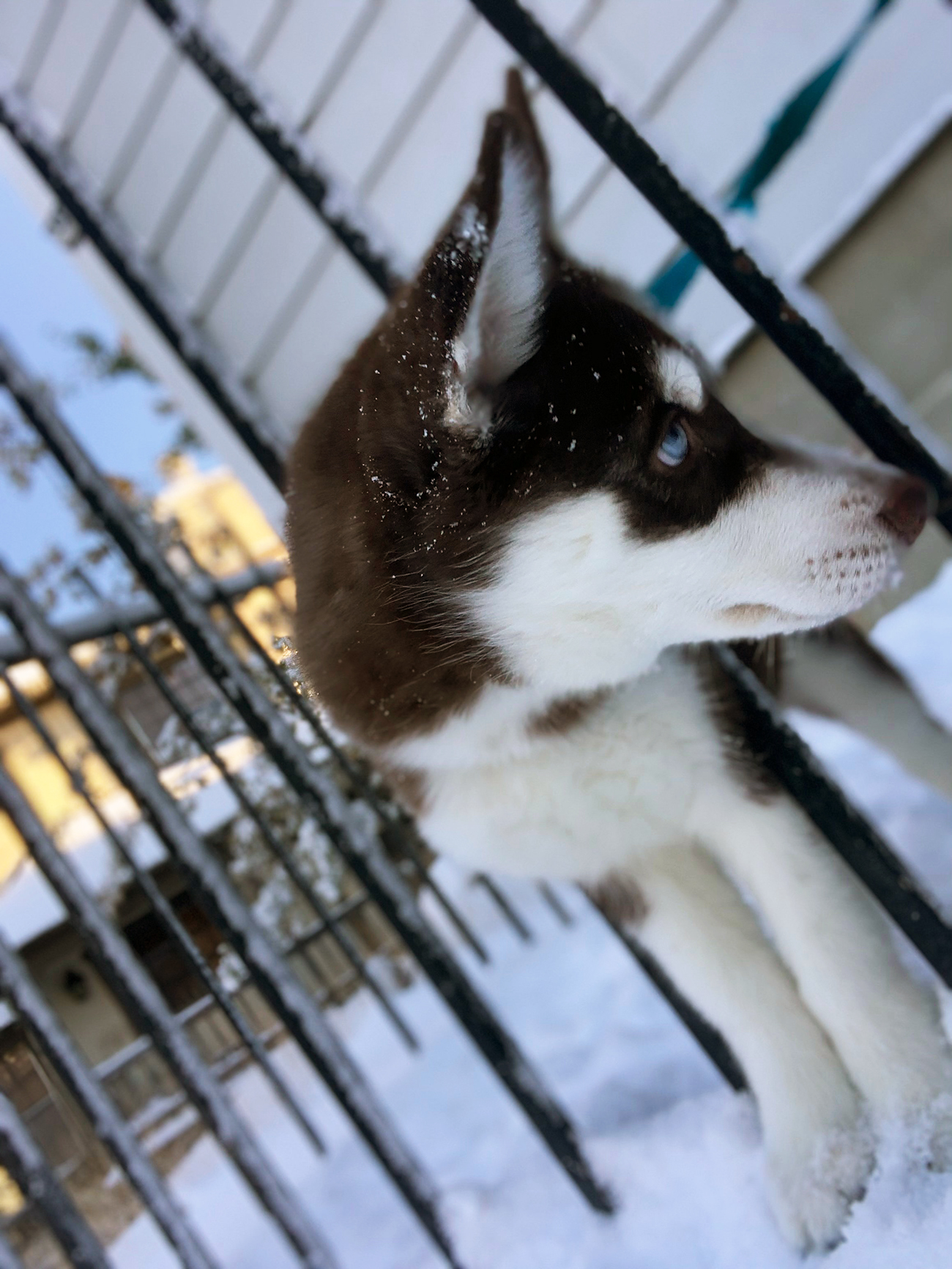 Husky puppy sticks head between rails