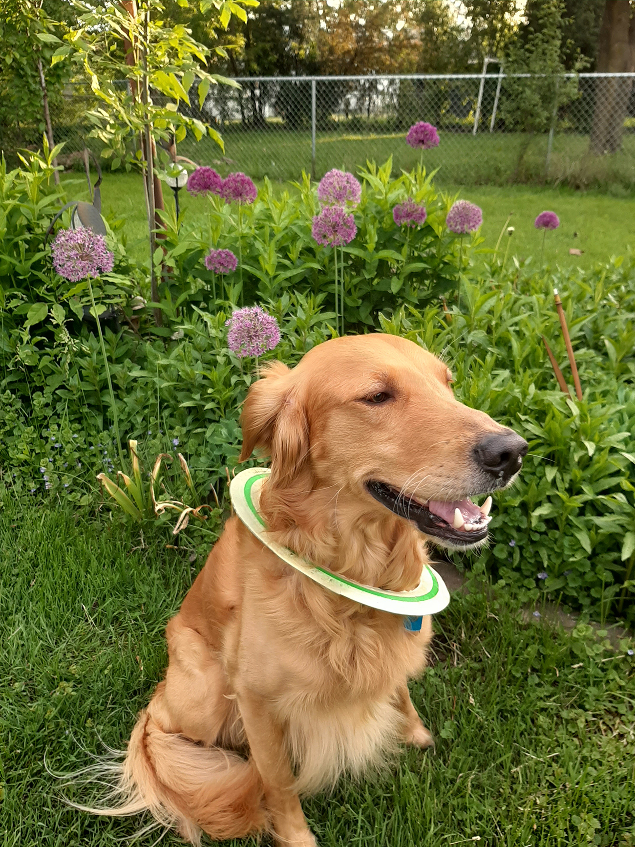 Retriever sits in grass with frisbee around neck