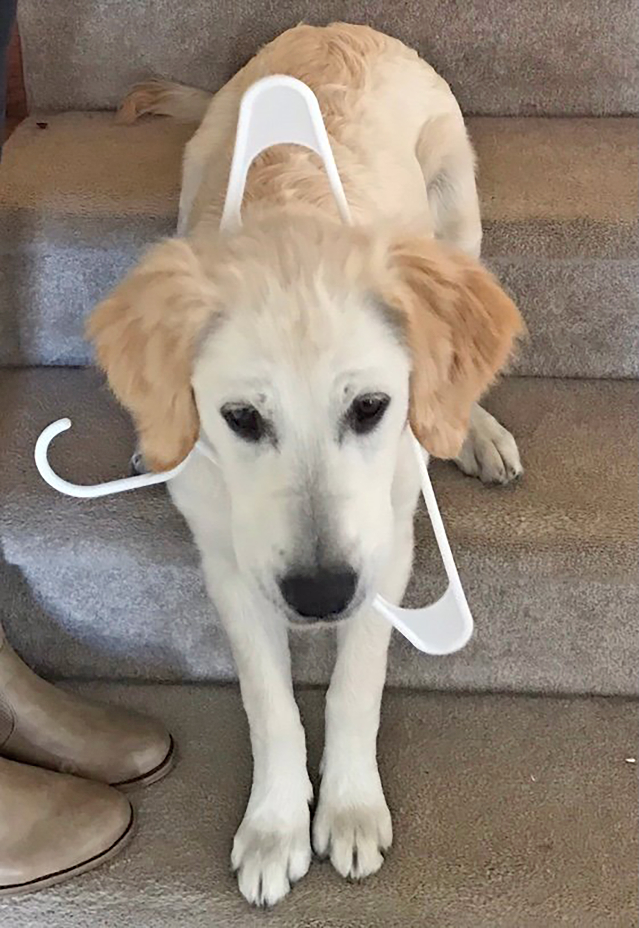 Large blond dog wears plastic clothes hanger on head
