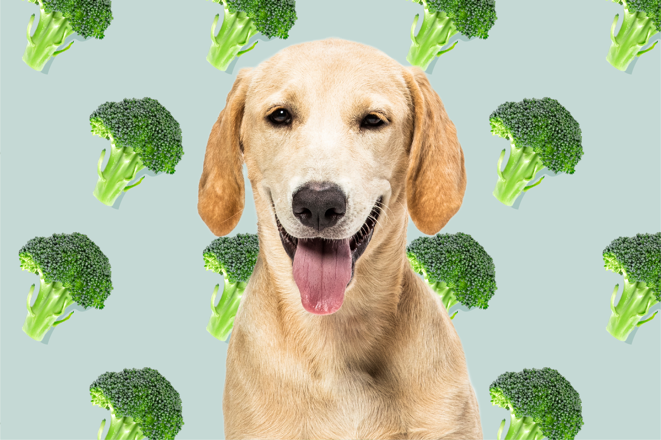 Yellow lab in front of broccoli illustration