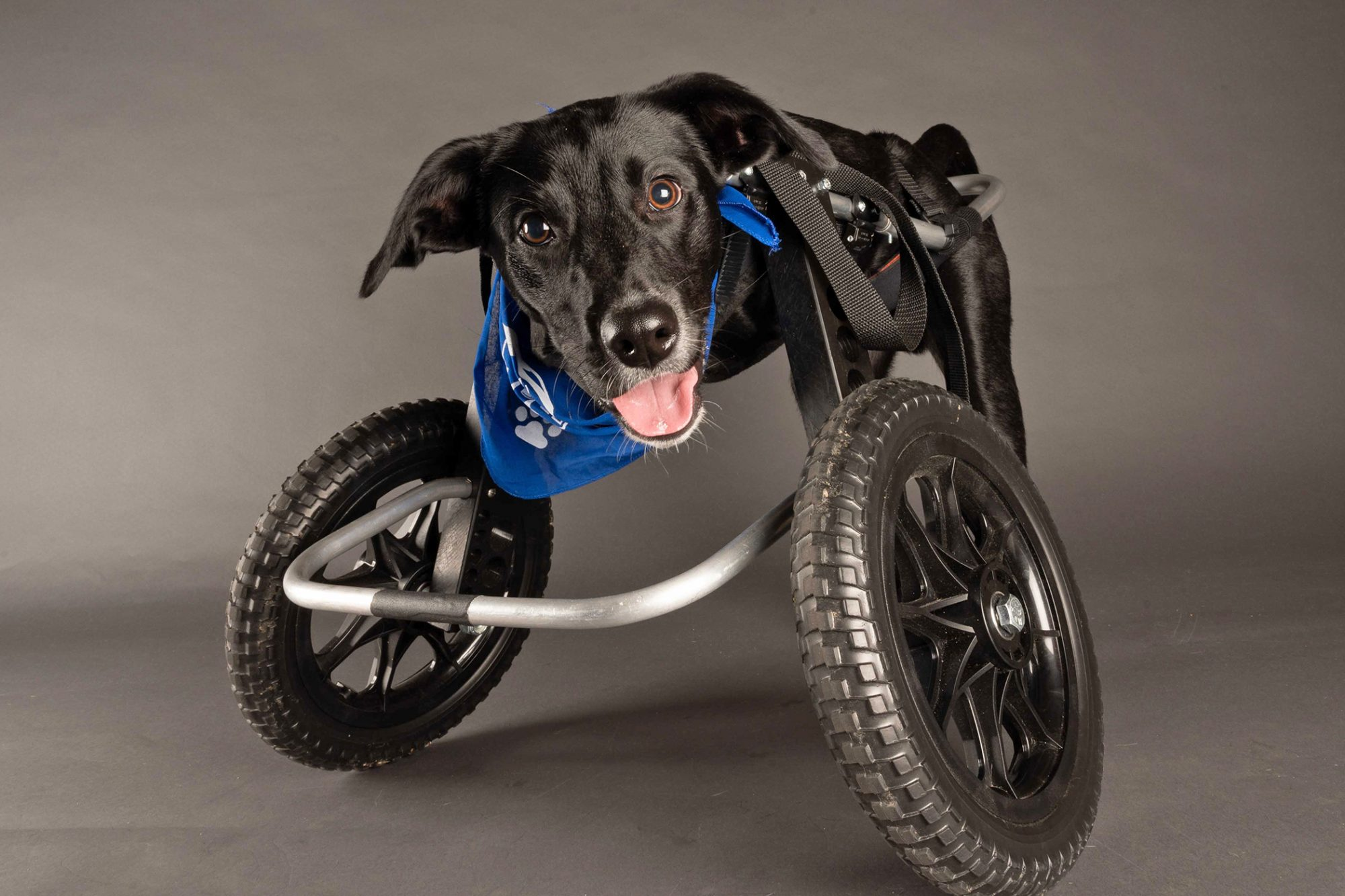 Jett he dog in two wheeled dog wheelchair