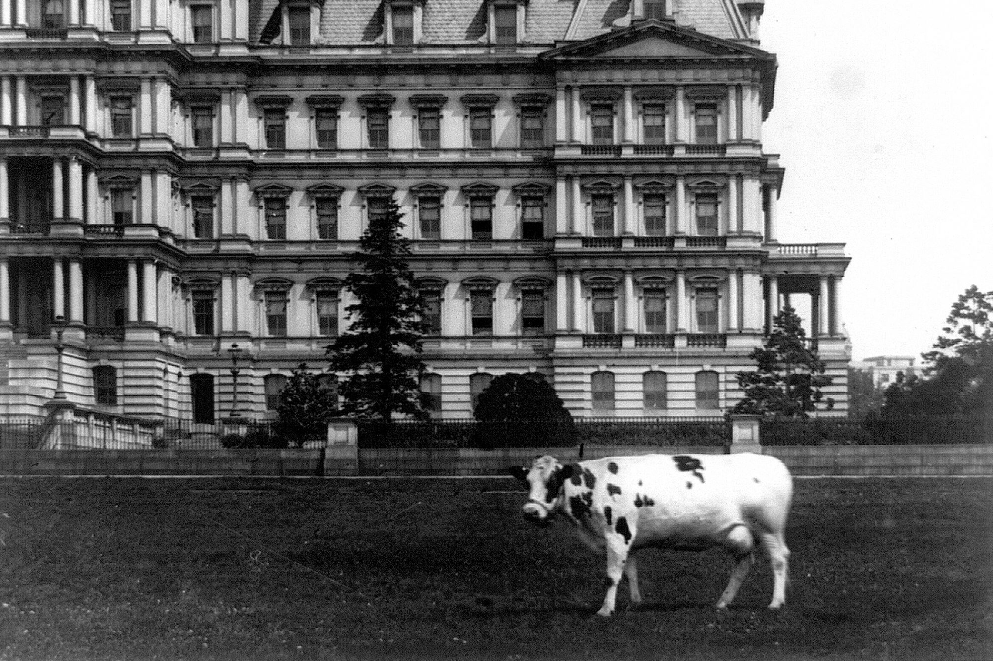 Photograph of cow on a lawn