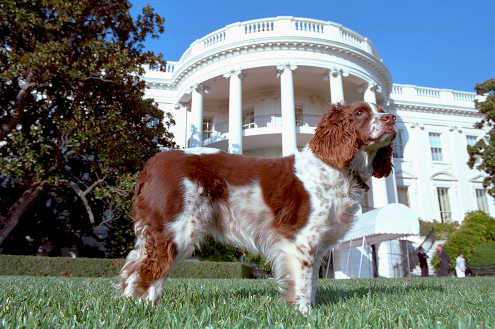 Photograph of President George W. Bush's spaniel standing on White House lawn