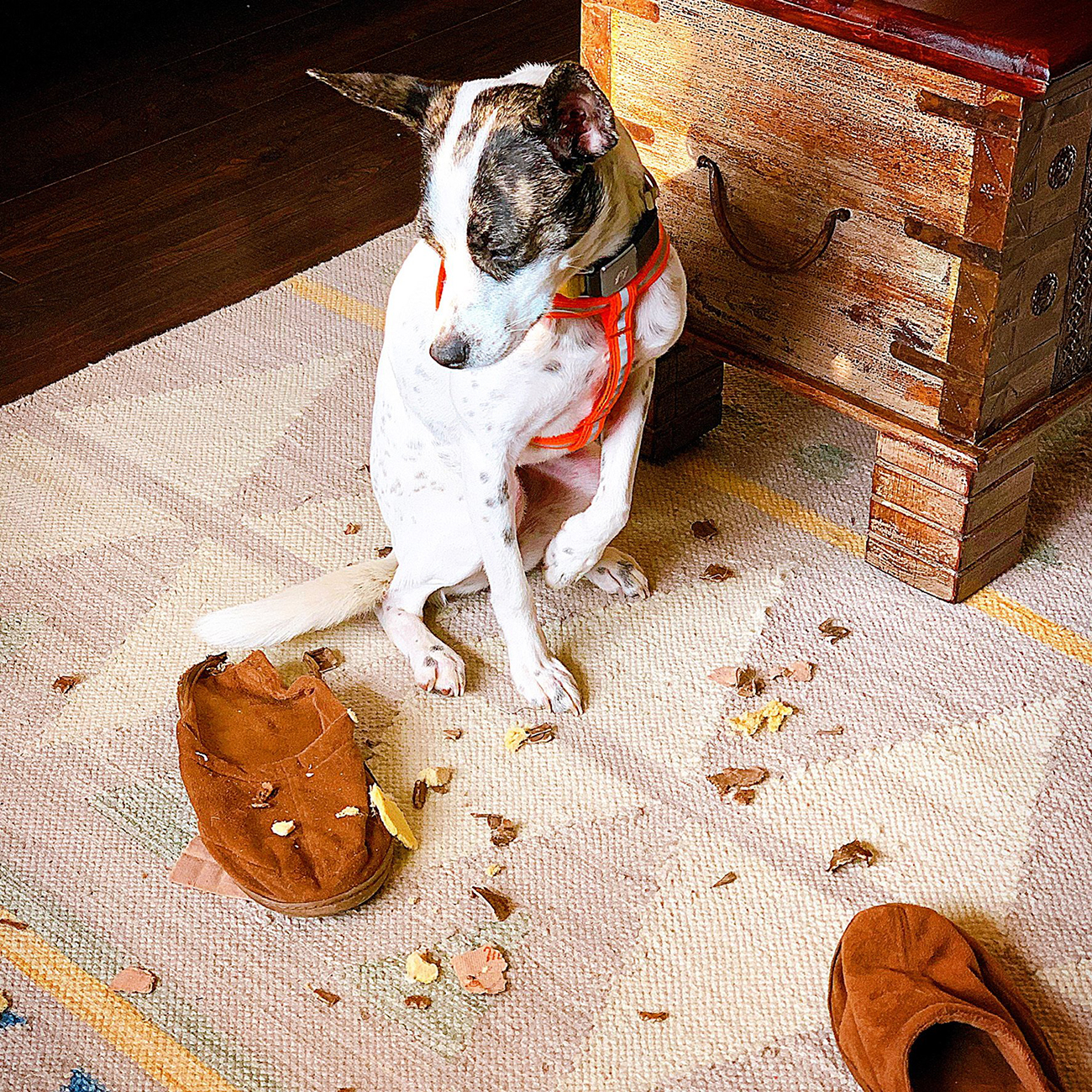 Guilty white and brown dog looks at destroyed slipper