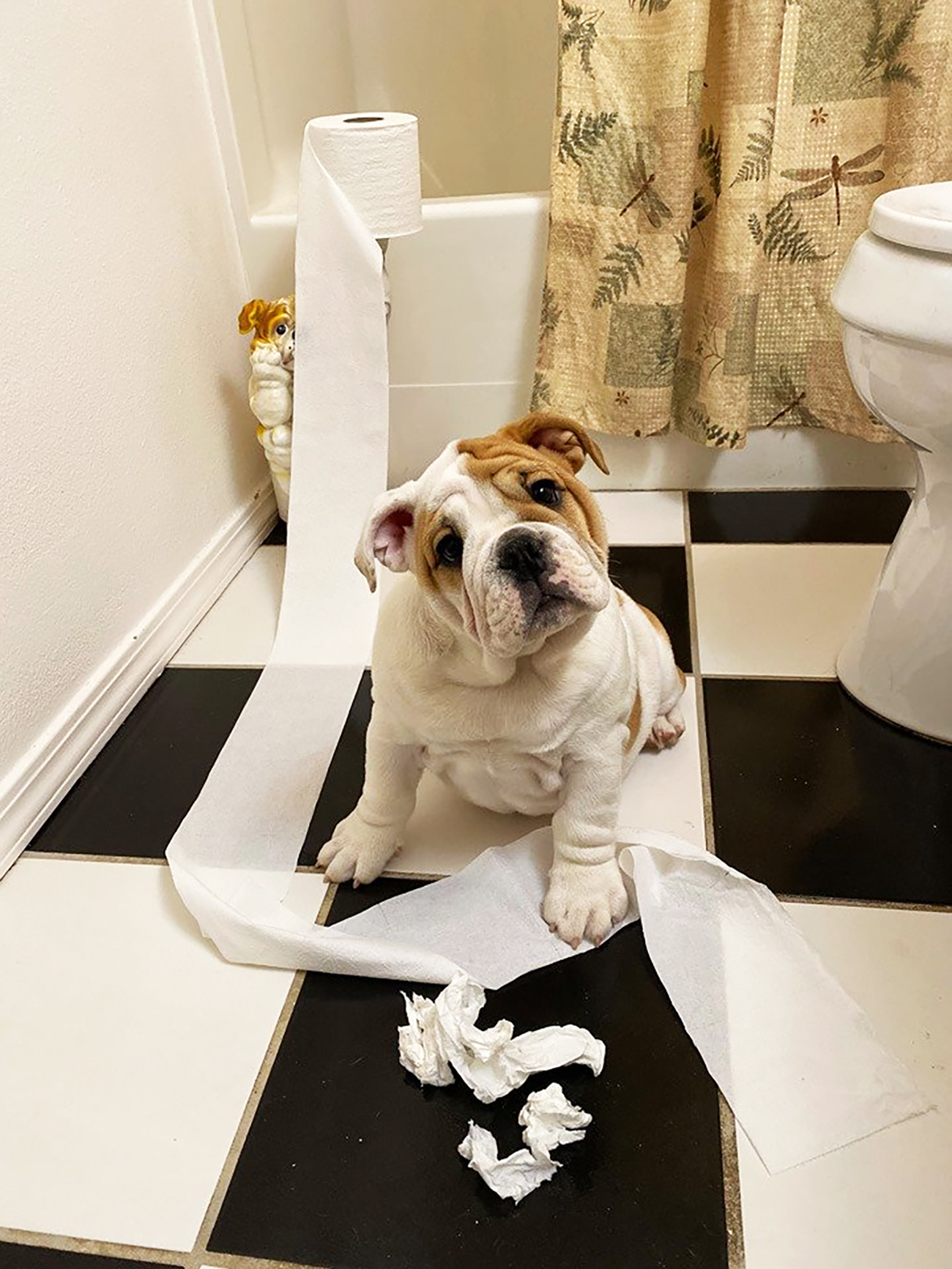Bulldog puppy plays with toilet paper