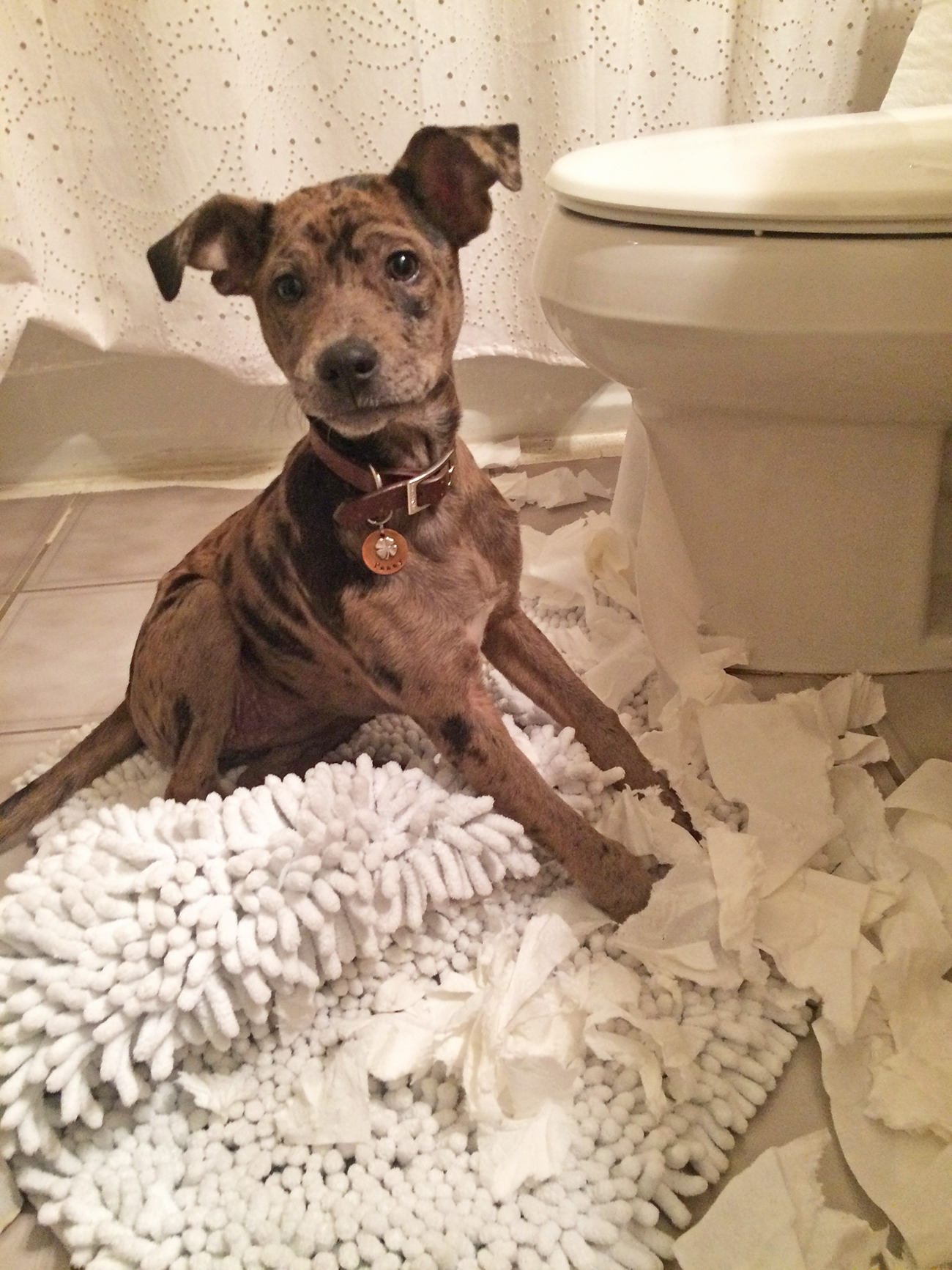 Small brown dog rips up toilet paper in bathroom