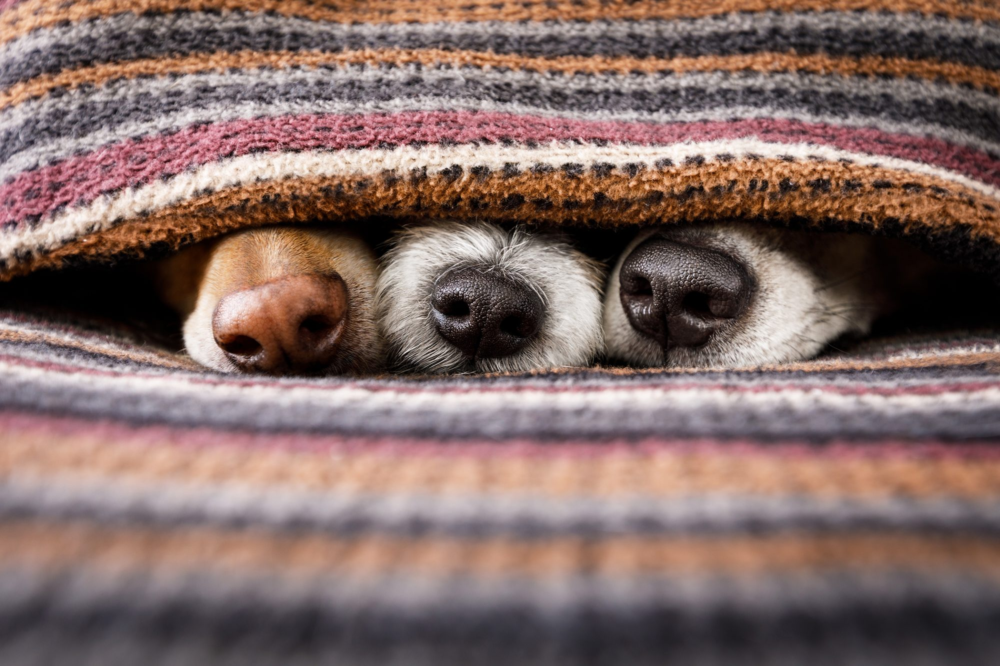 Three dog noses peek out from under a blanket