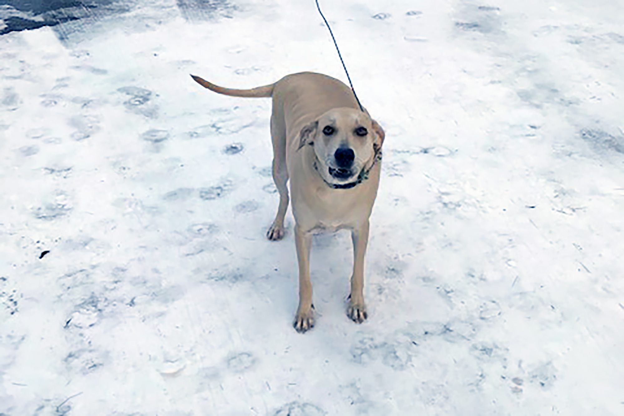 Blonde adult dog looks at camera while standing on snowy surface