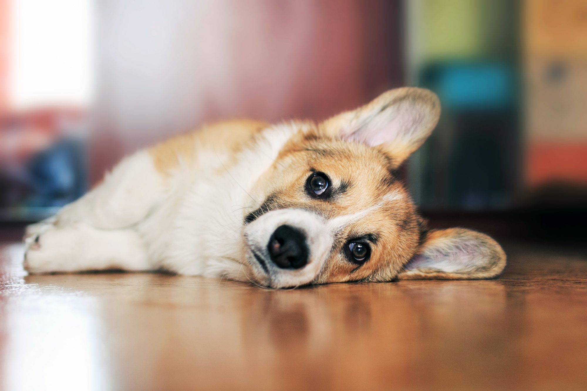Sad corgi puppy lays on the floor