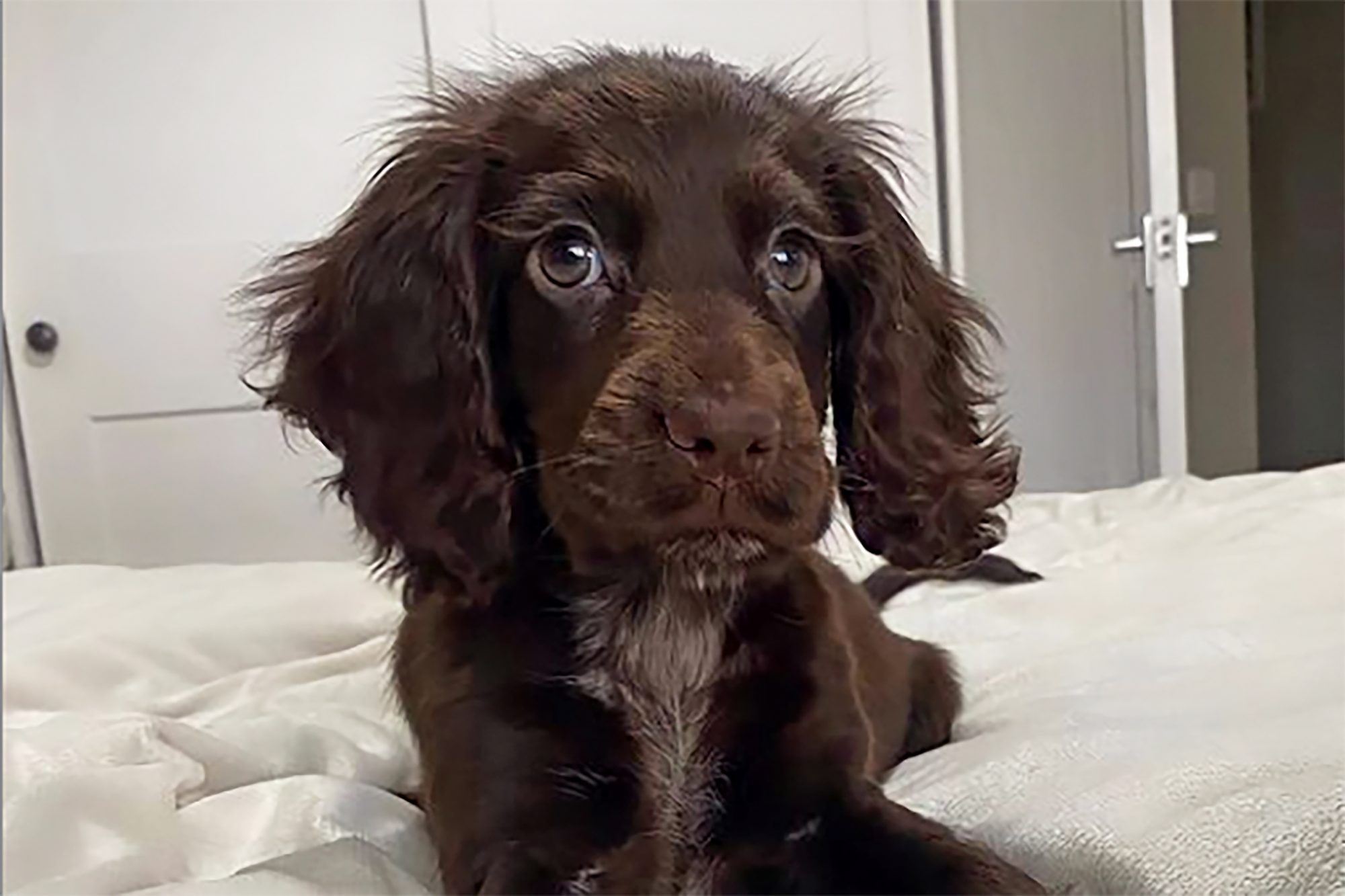 cocker spaniel with long Disney-like lashes