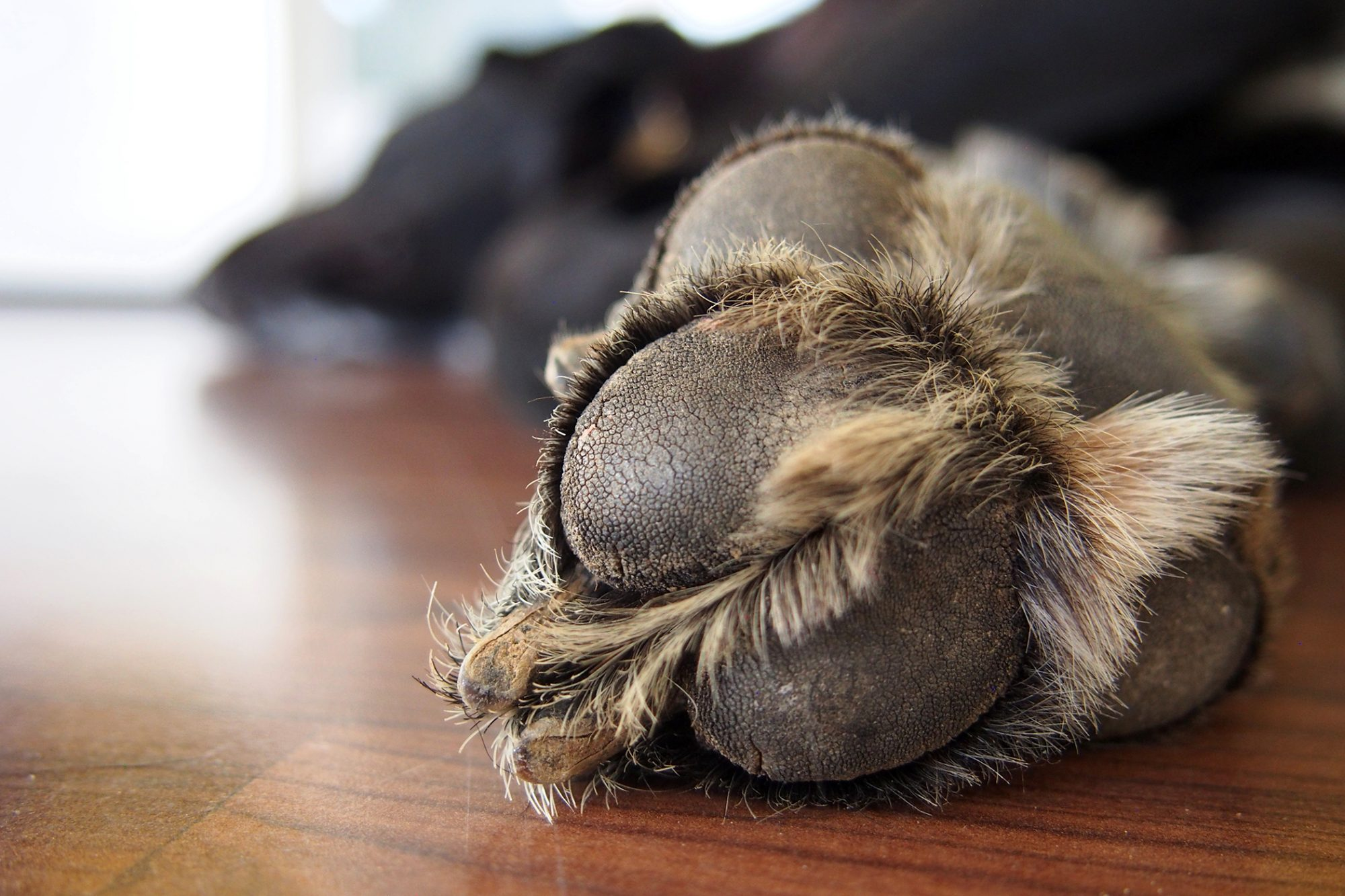 Closeup of furry dog paw
