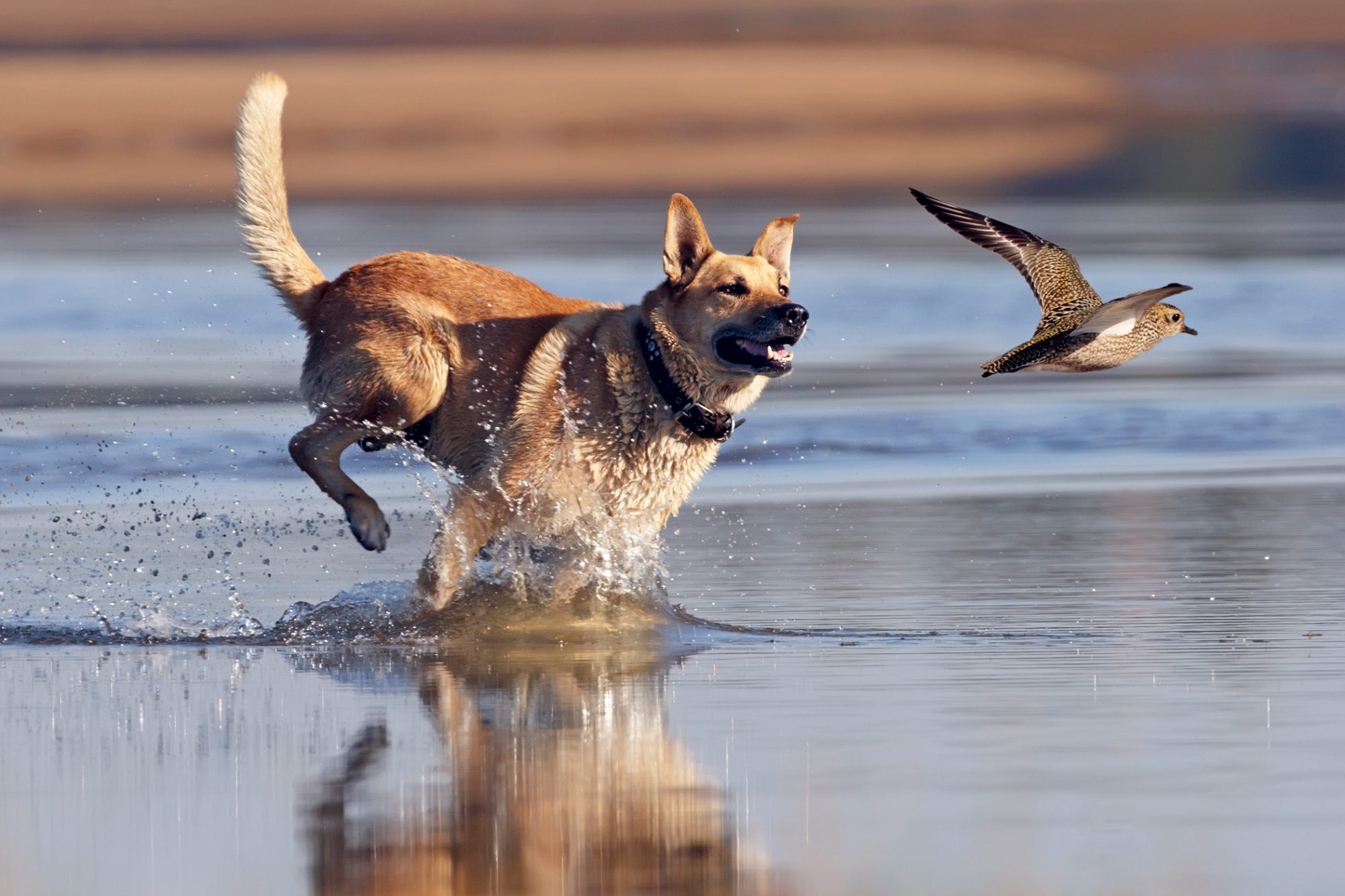 dog chasing bird in water