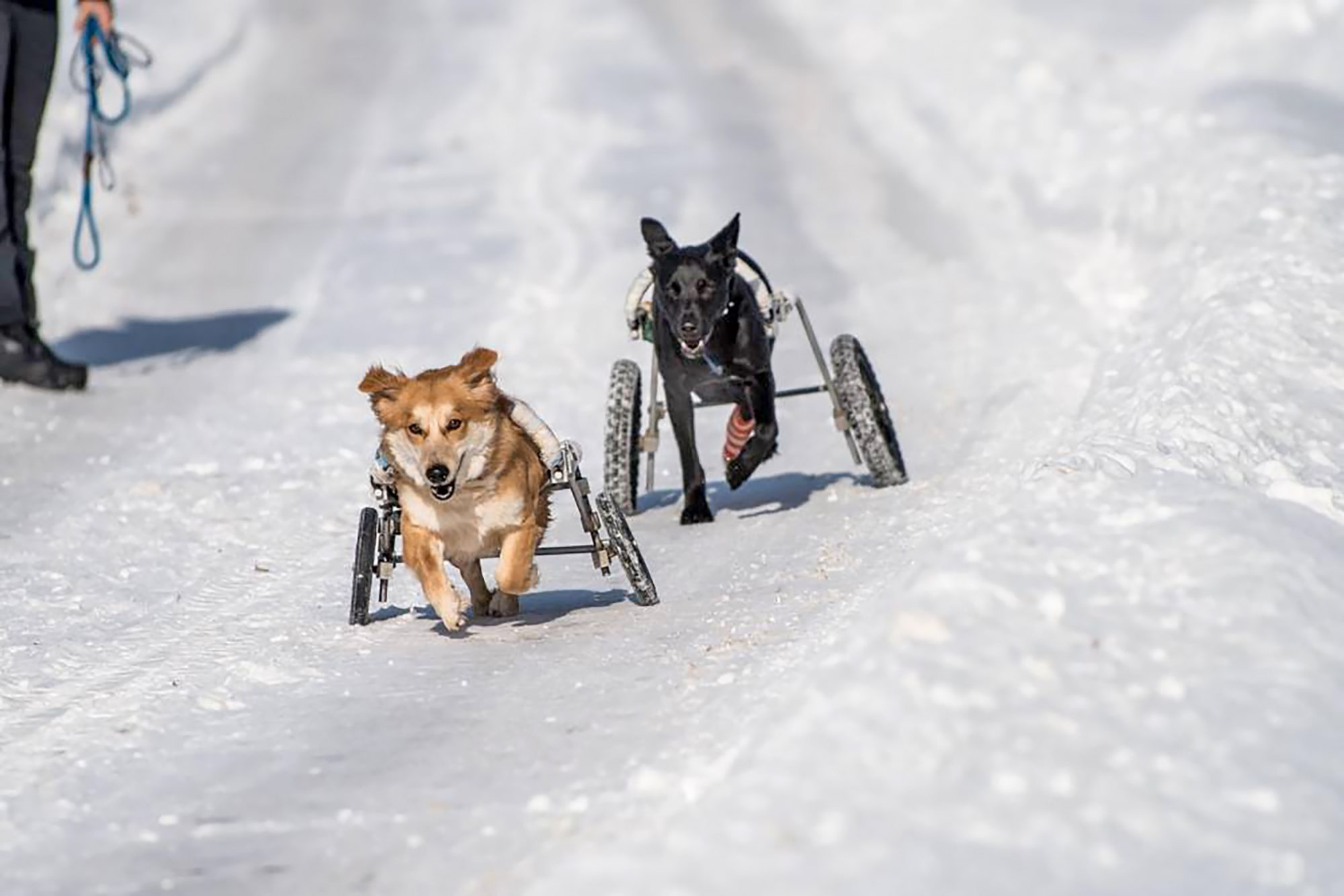 paraplegic dogs from Minnesota shelter racing in the snow with their wheels
