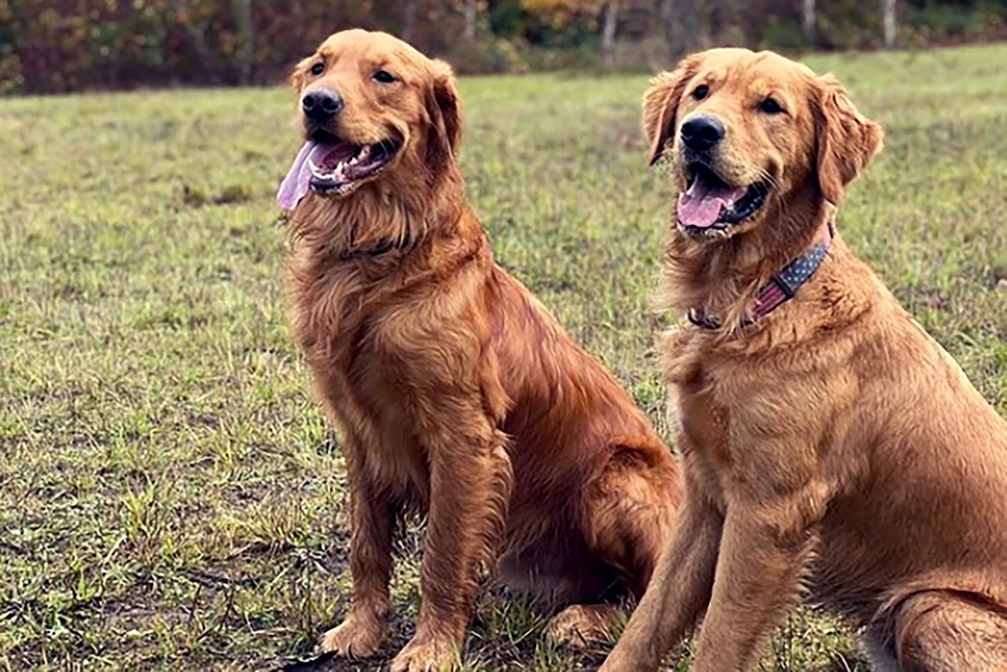 two golden retrievers sitting on lawn