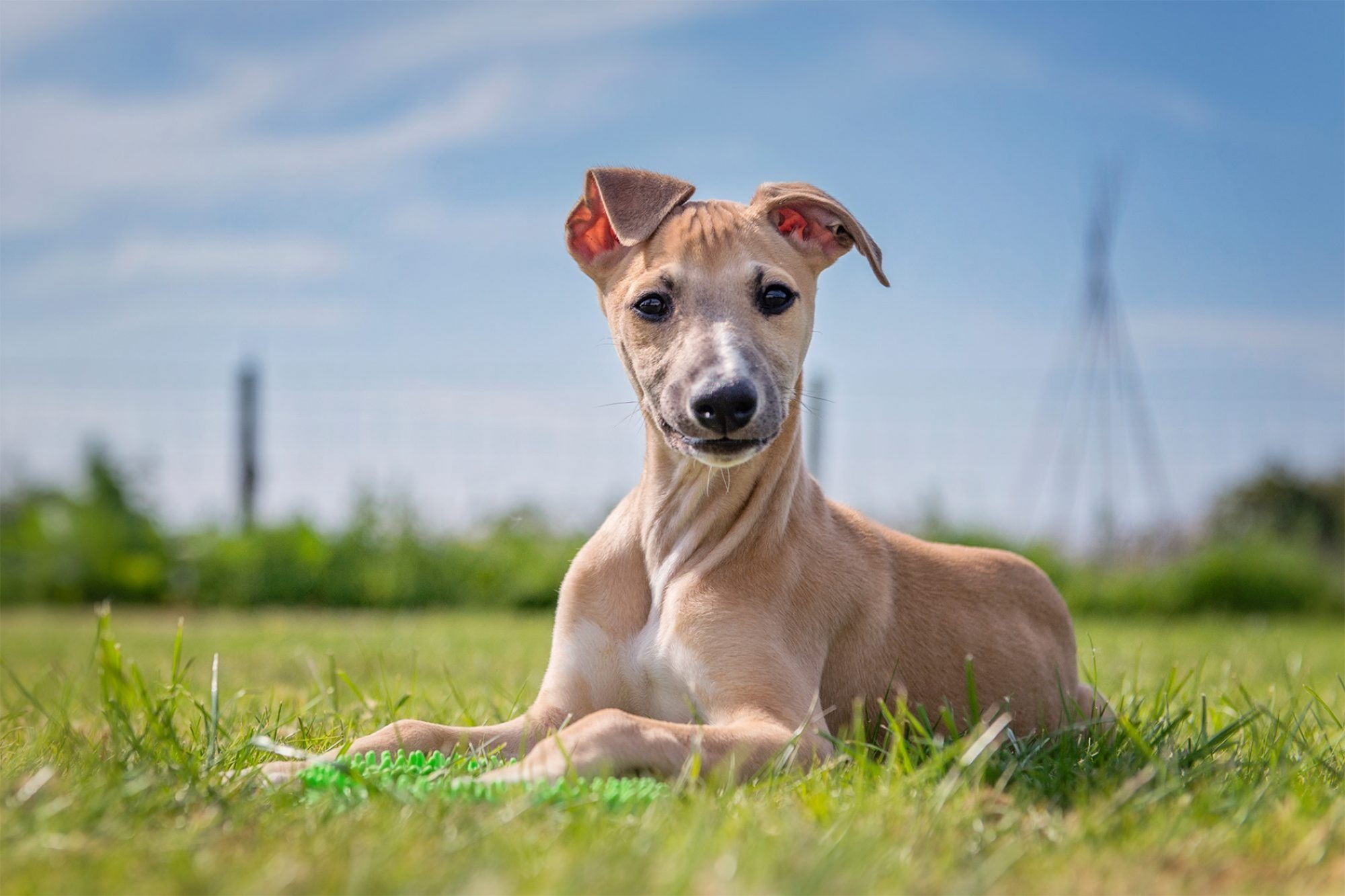 whippet laying in grass