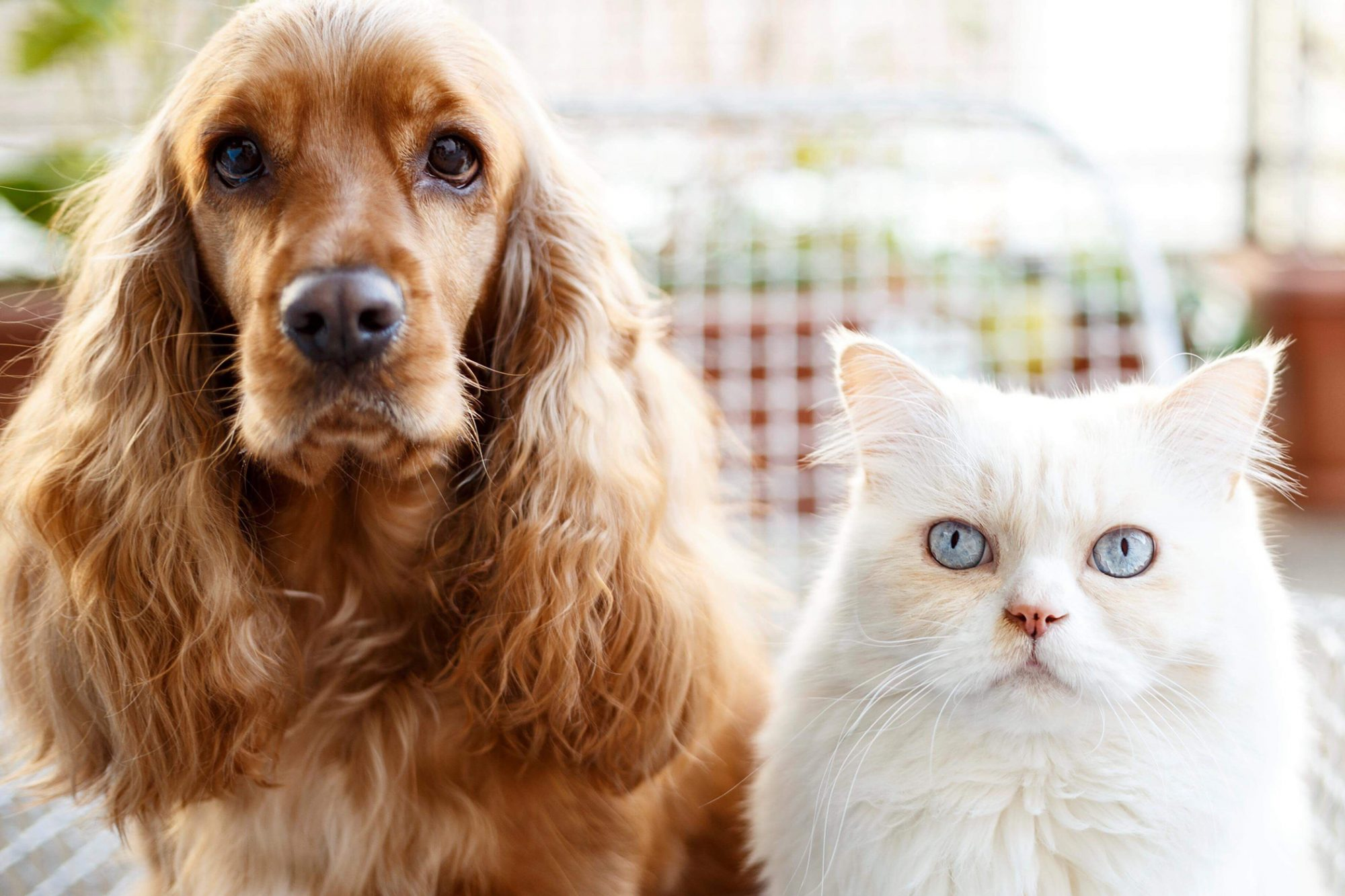 Photo of spaniel and white cat side-by-side
