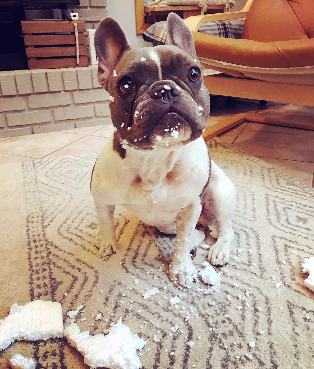 French bulldog sits on carpet surrounded by torn up styrofoam