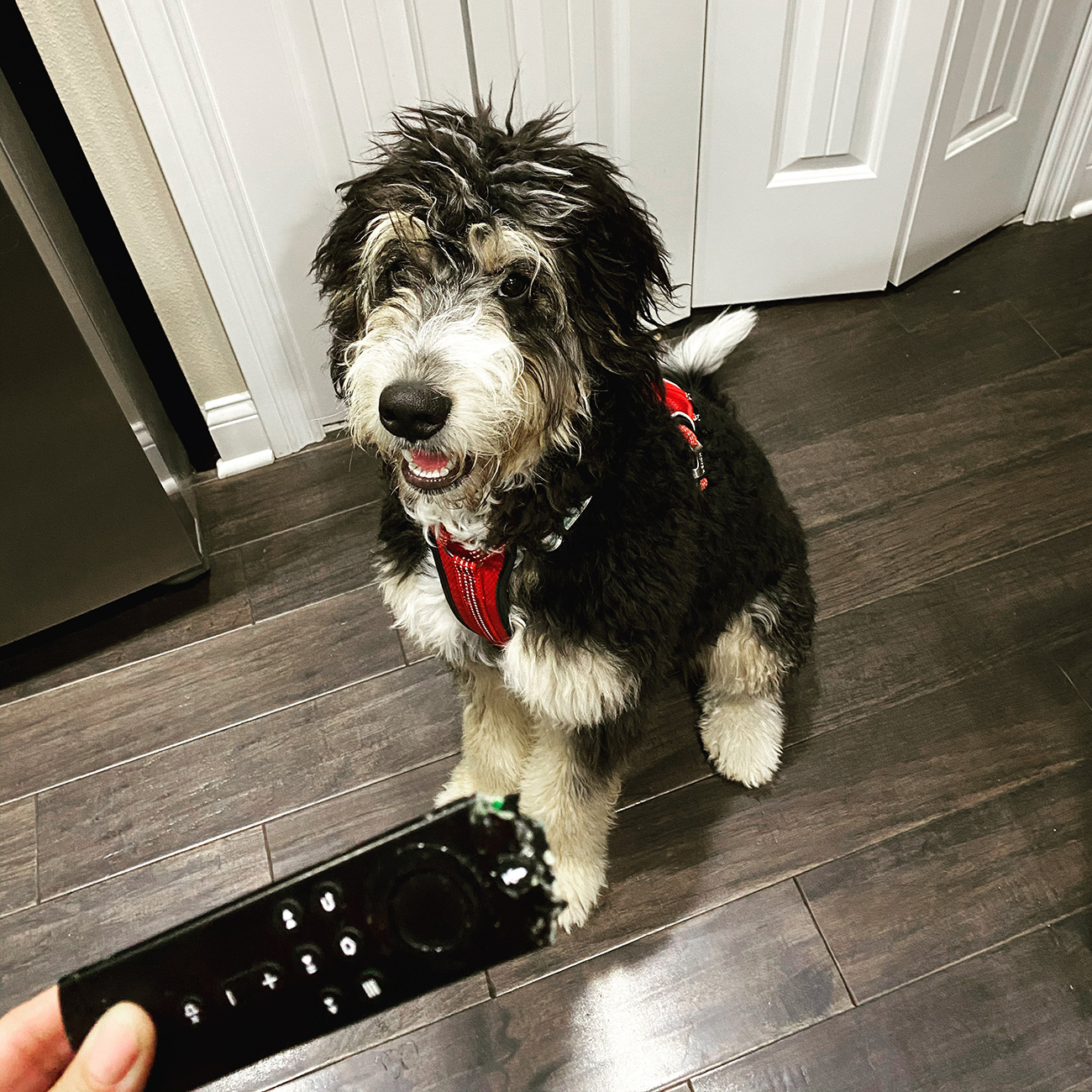 Shaggy dog looks up at owner, who is holding chewed up Amazon Fire remote
