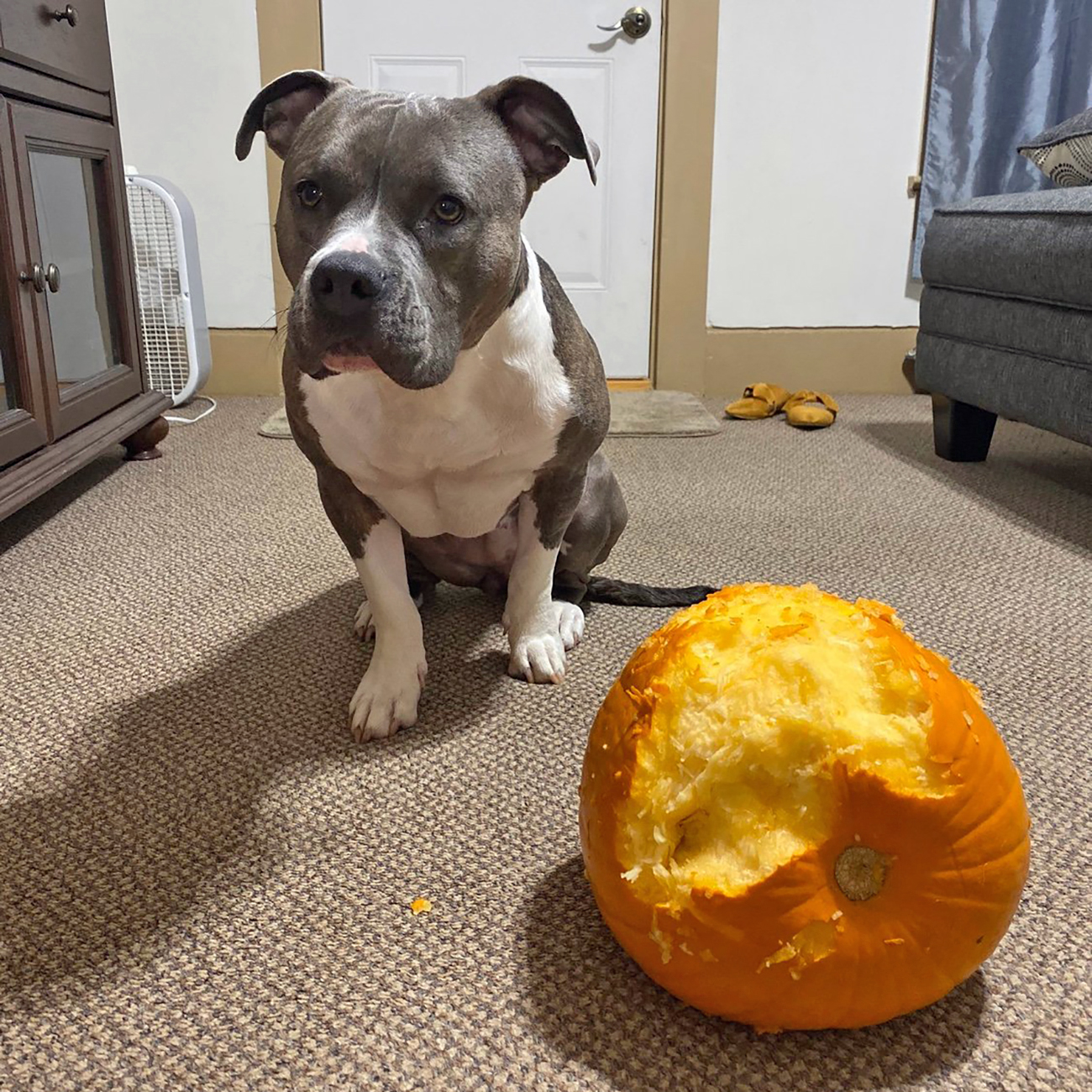Medium-sized grey and white dog sits next to chewed up pumpkin