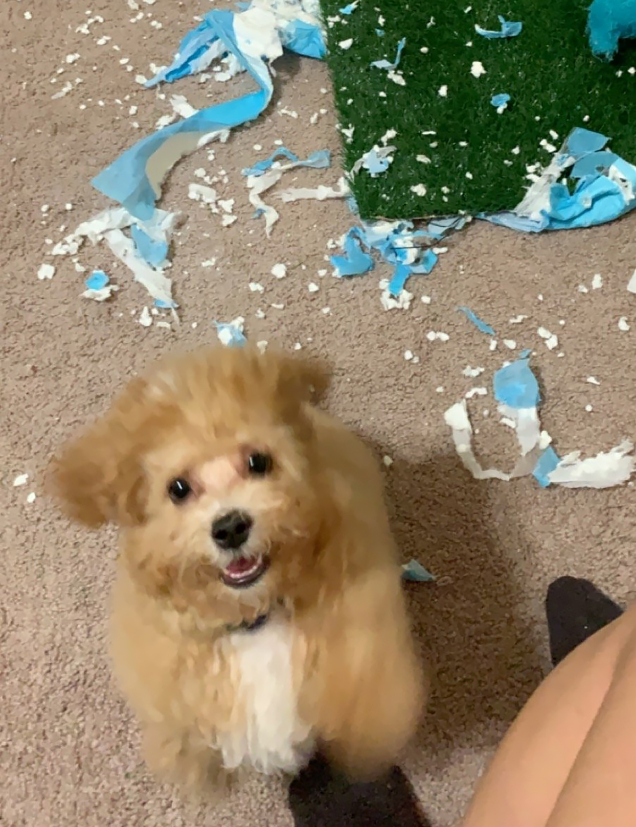 Hyper small fluffy dog greets owner after ripping up plastic bag