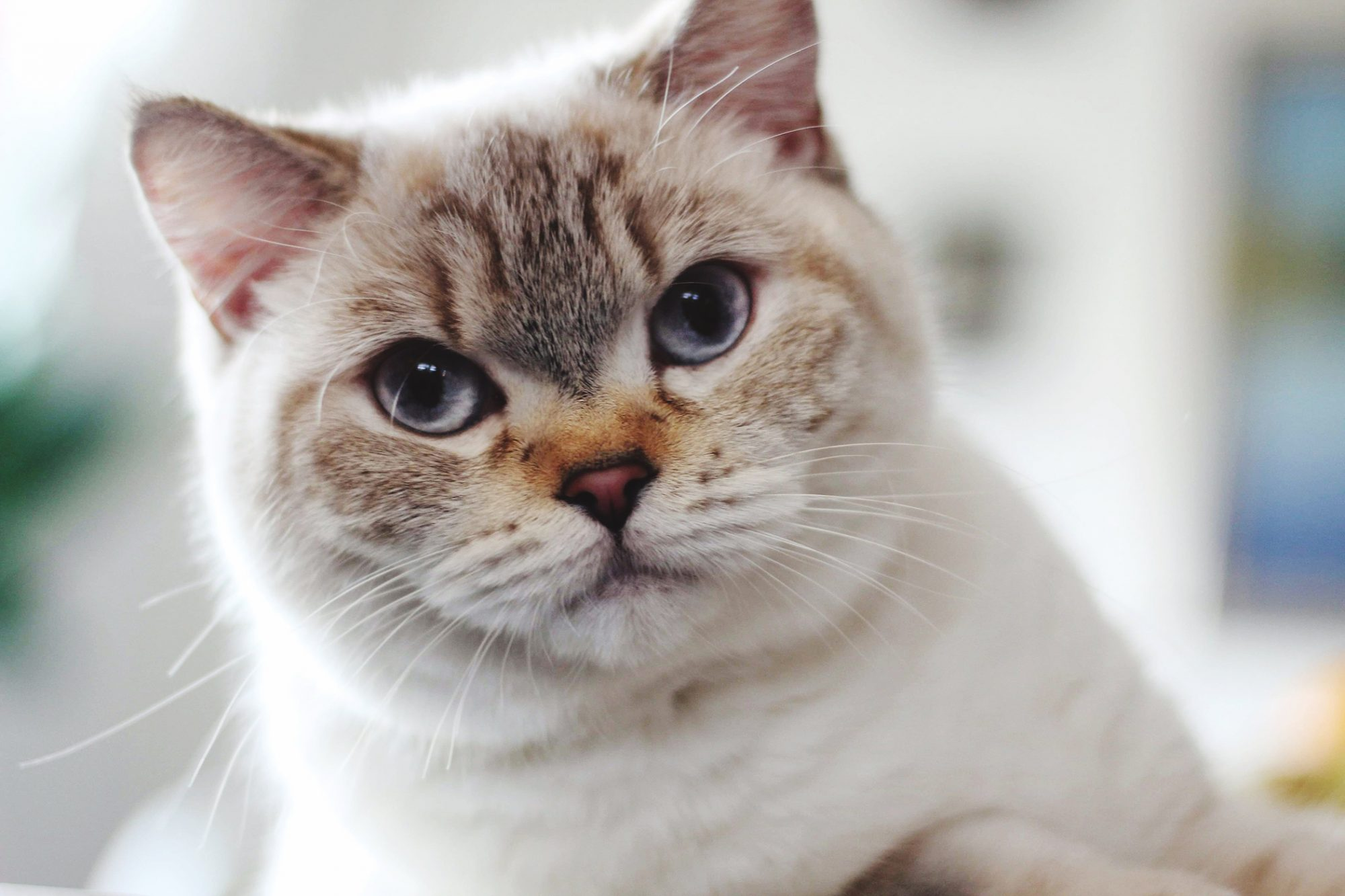 Portrait of British Shorthaired Cat