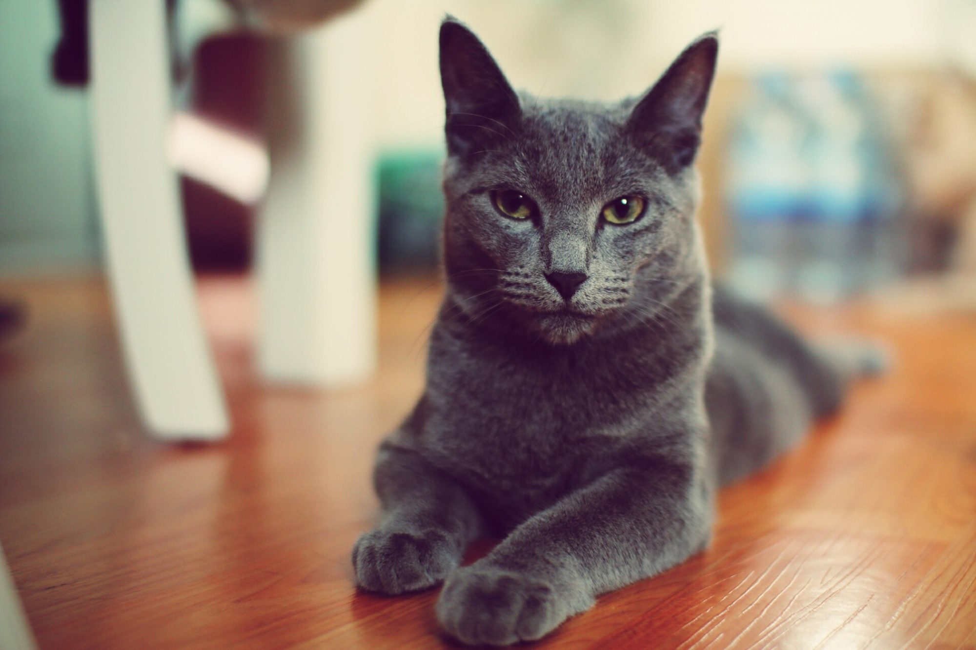Portrait of Chartreux cat relaxing on wood floor
