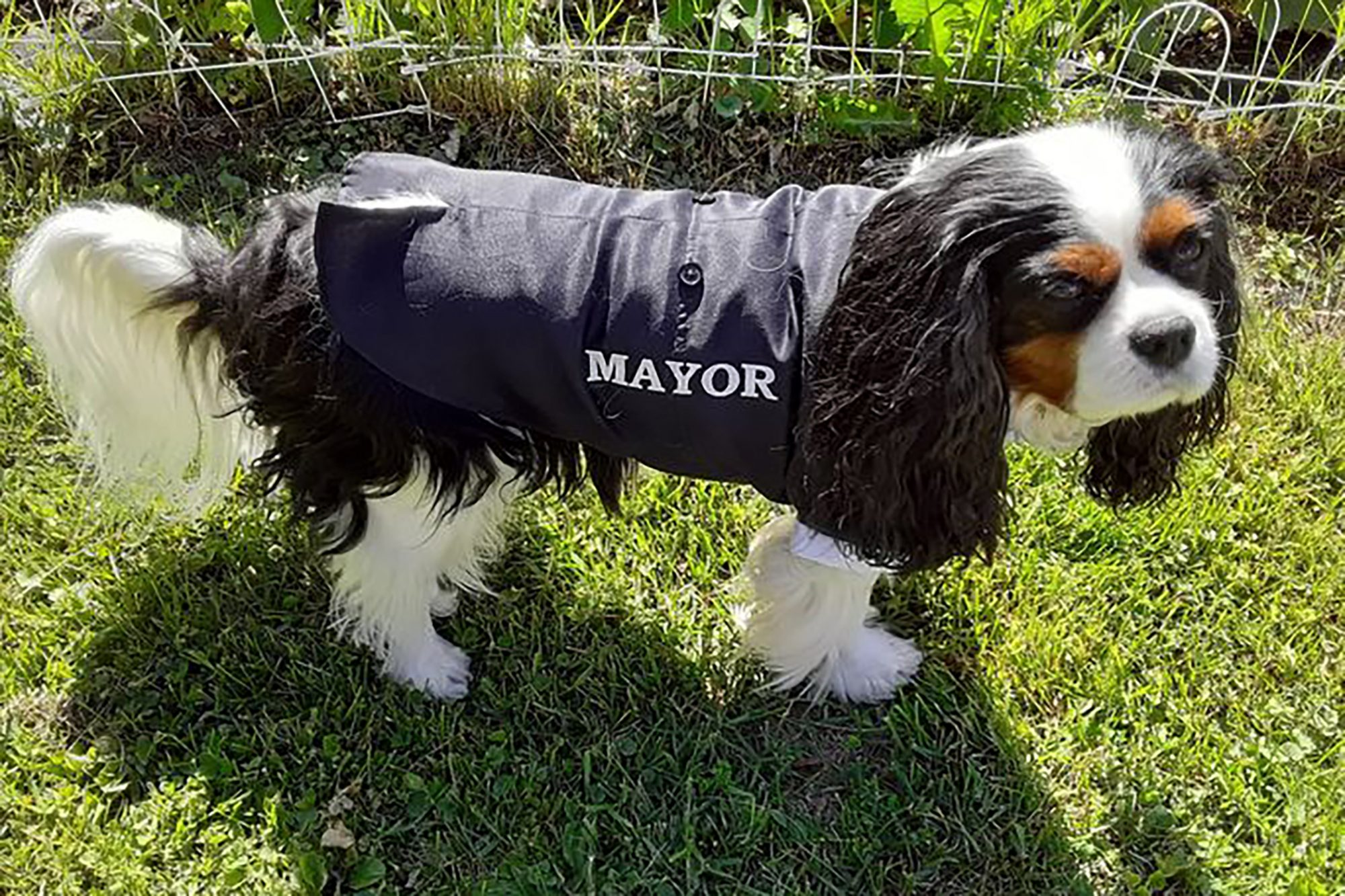 Photo of Murfee the therapy dog with mayor coat