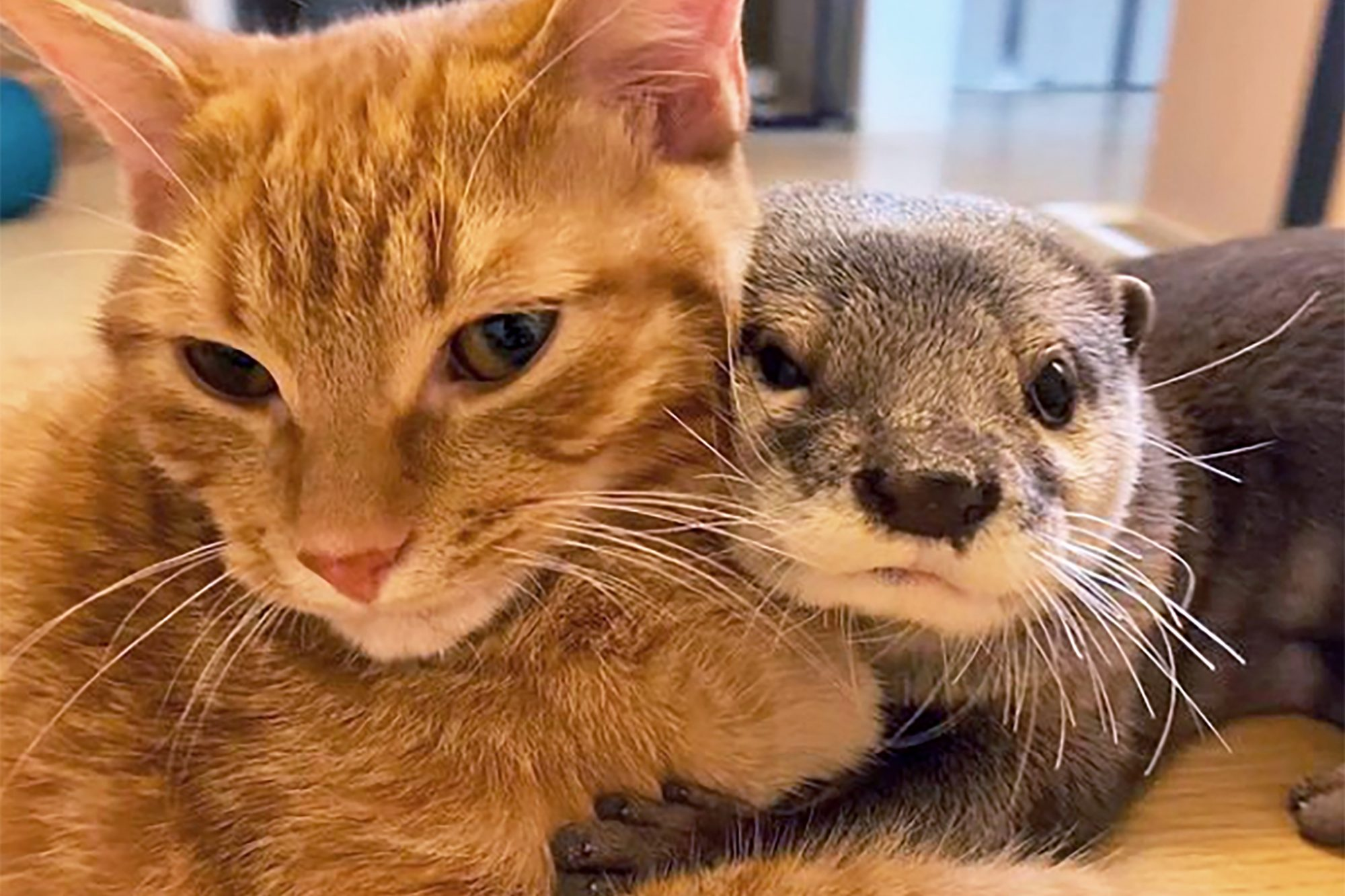 Orange cat cuddles with otter