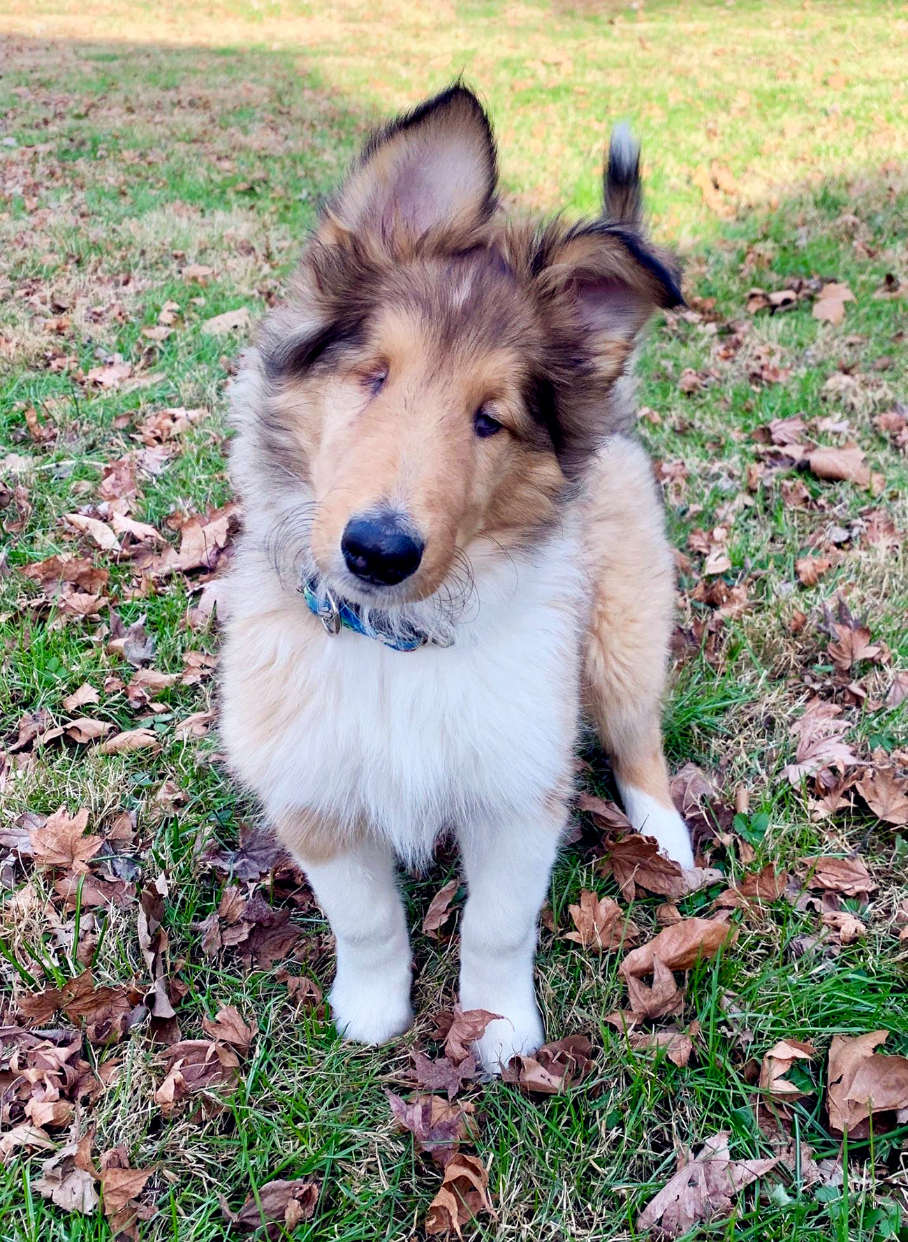 River the blind collie sits outside in leaves
