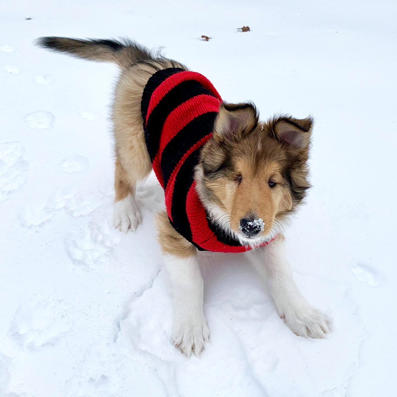 Blind collie with sweater plays with snow