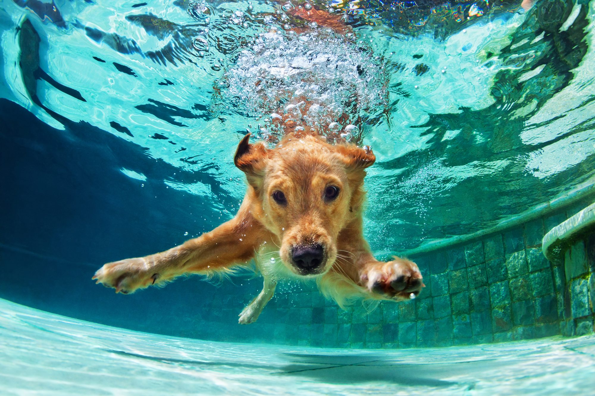 Blonde dog swims under water in pool