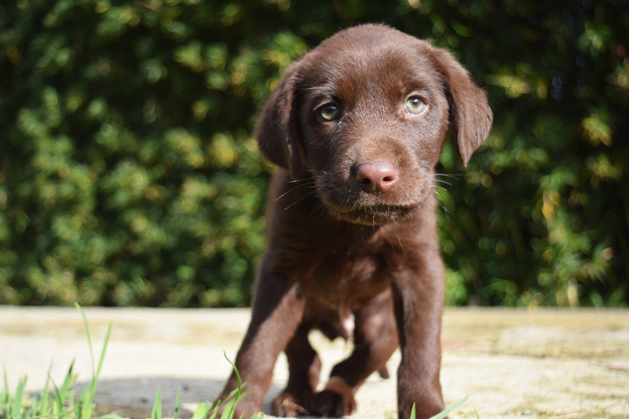 Portrait of brown puppy standing outside