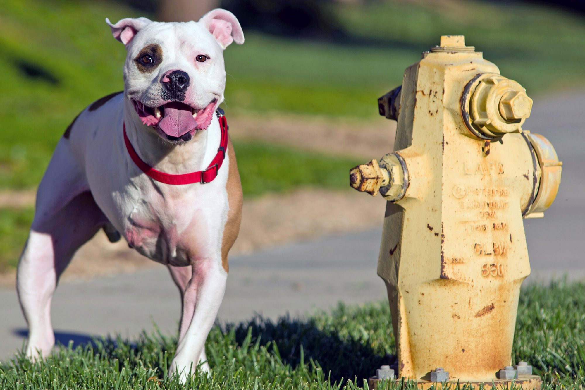 three-legged dog next to yellow fire hydrant