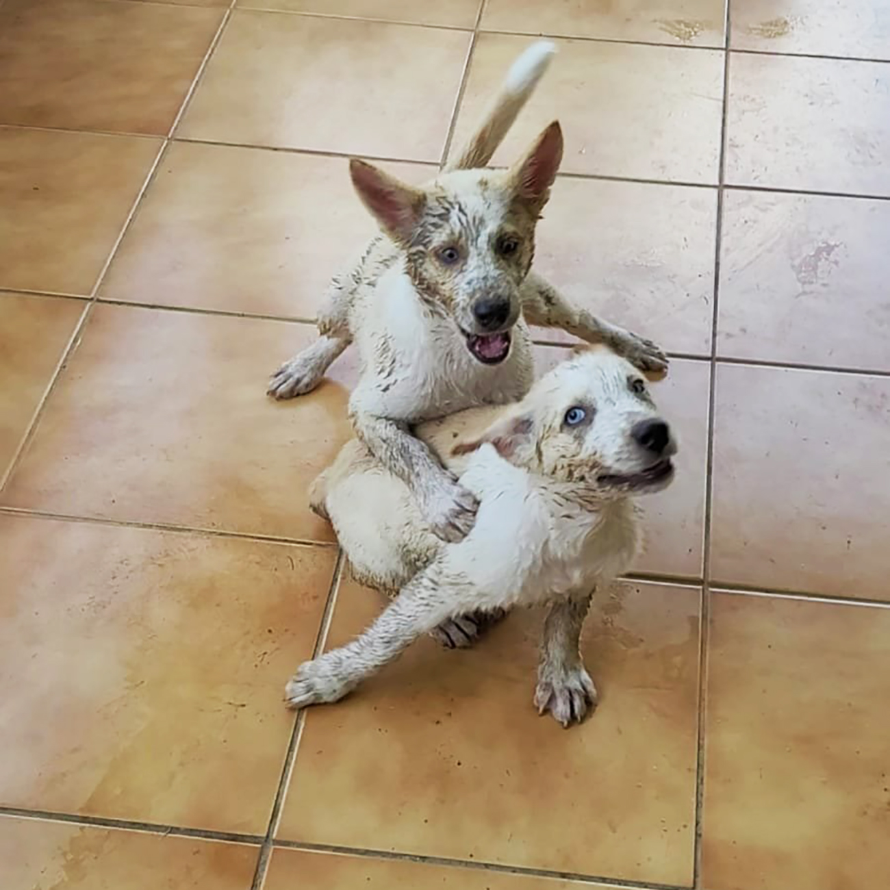 Two white puppies splattered with mud wrestle on tile floor