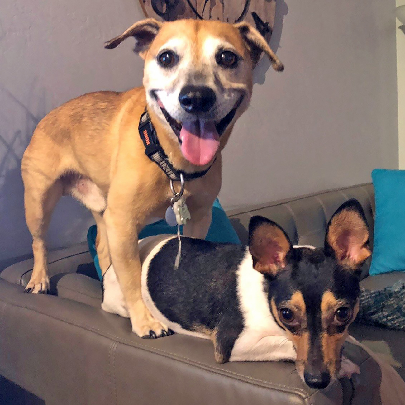Small dog laws on couch arm while medium dog stands above him and smiles at camera