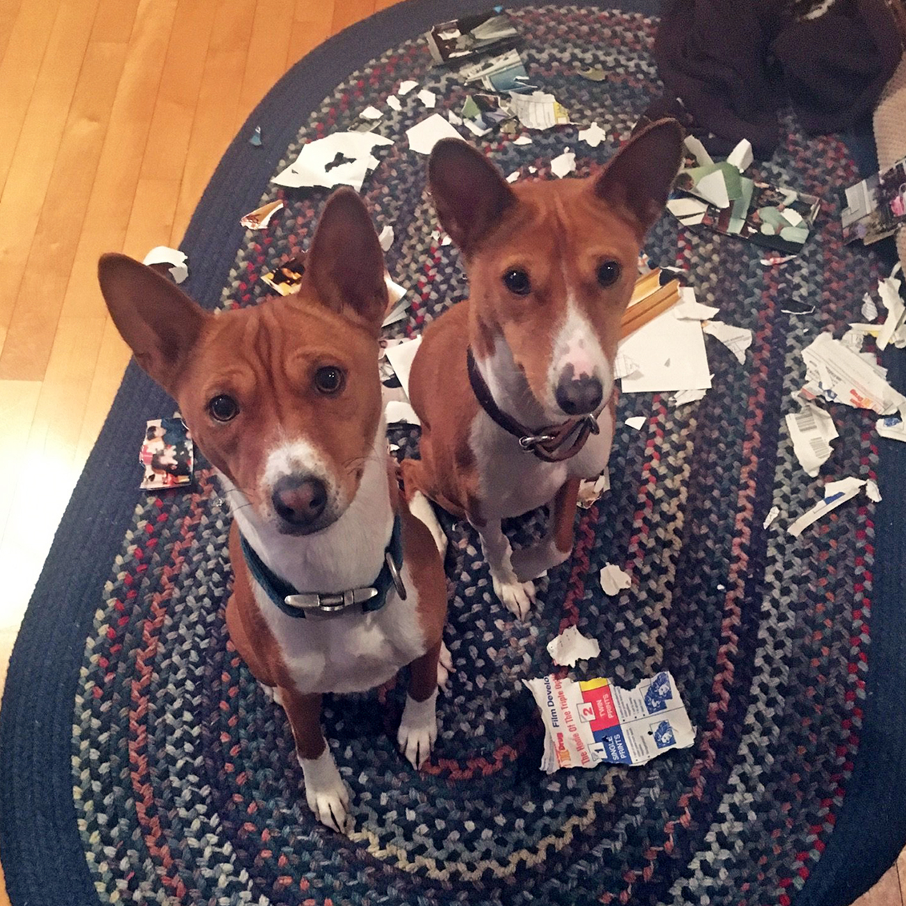 Twin dogs surrounded by torn up mail and paper look up at camera