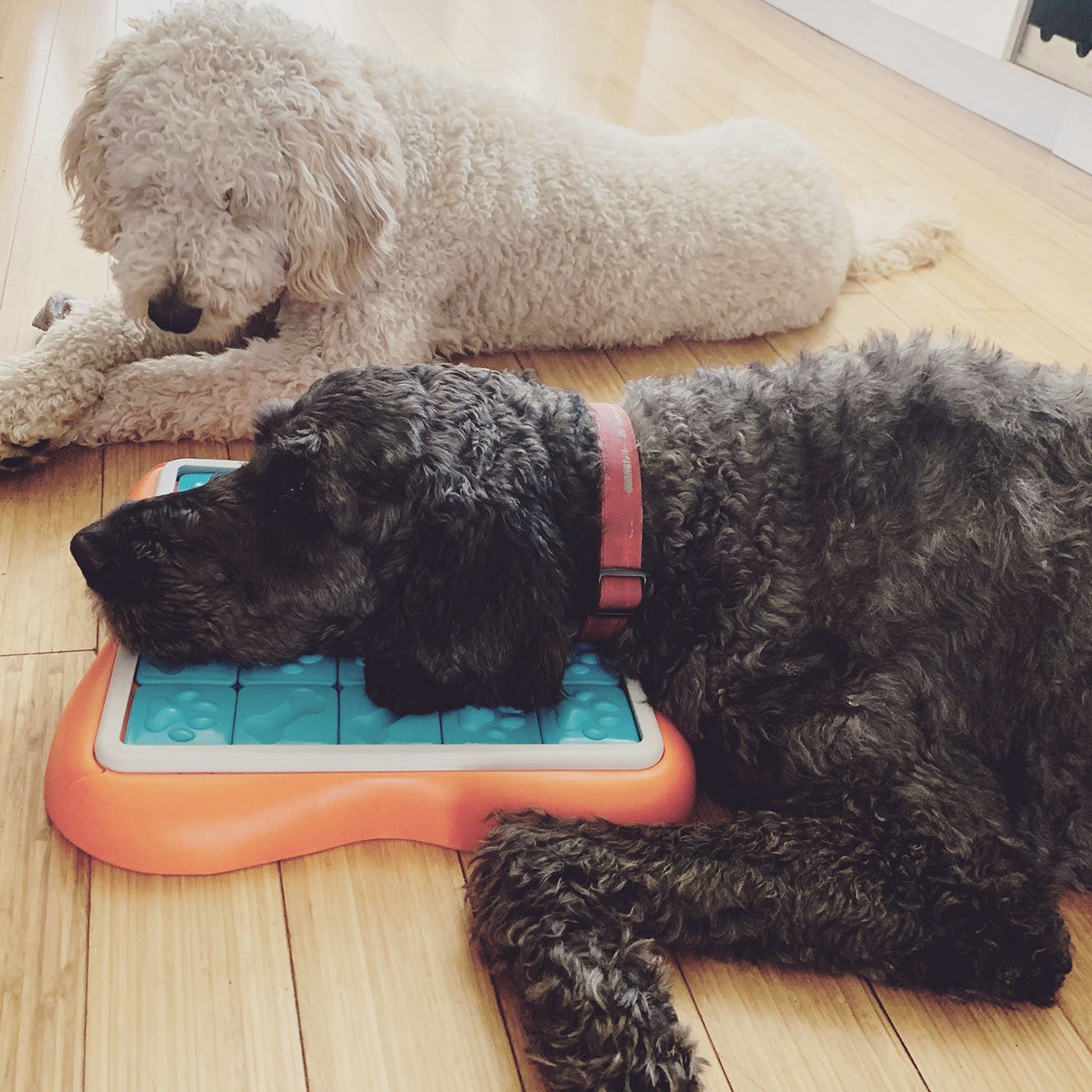 White curly haired dog looks at black curly haired dog, who is lounging on a dog puzzle