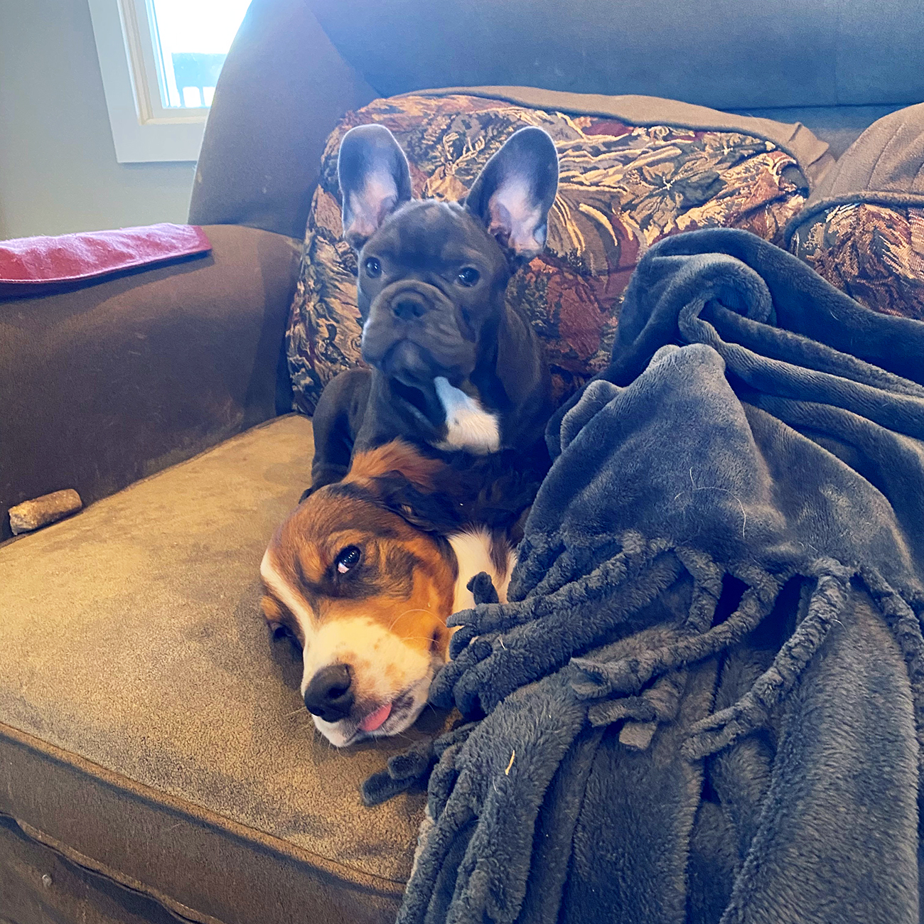 dog lays on couch covered in fluffy blanket while french bulldog stands behind him