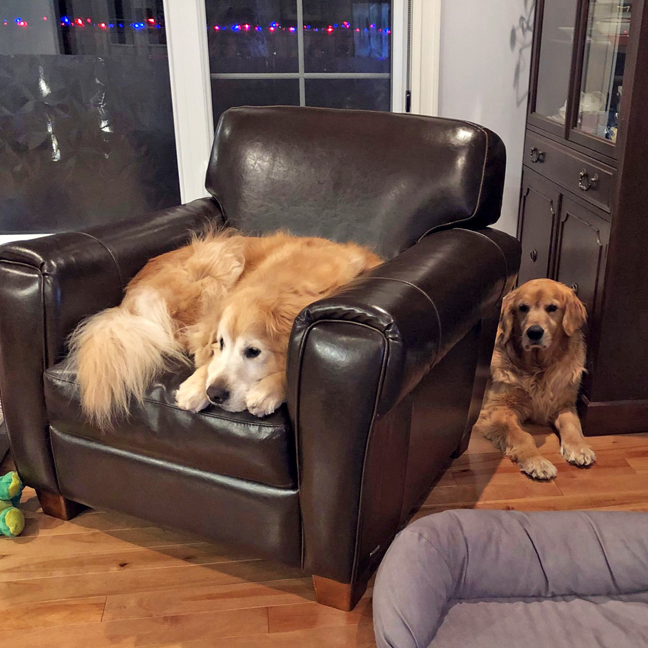 Large dog curls up in leather arm chair, dog's sibling lays behind leather arm chair