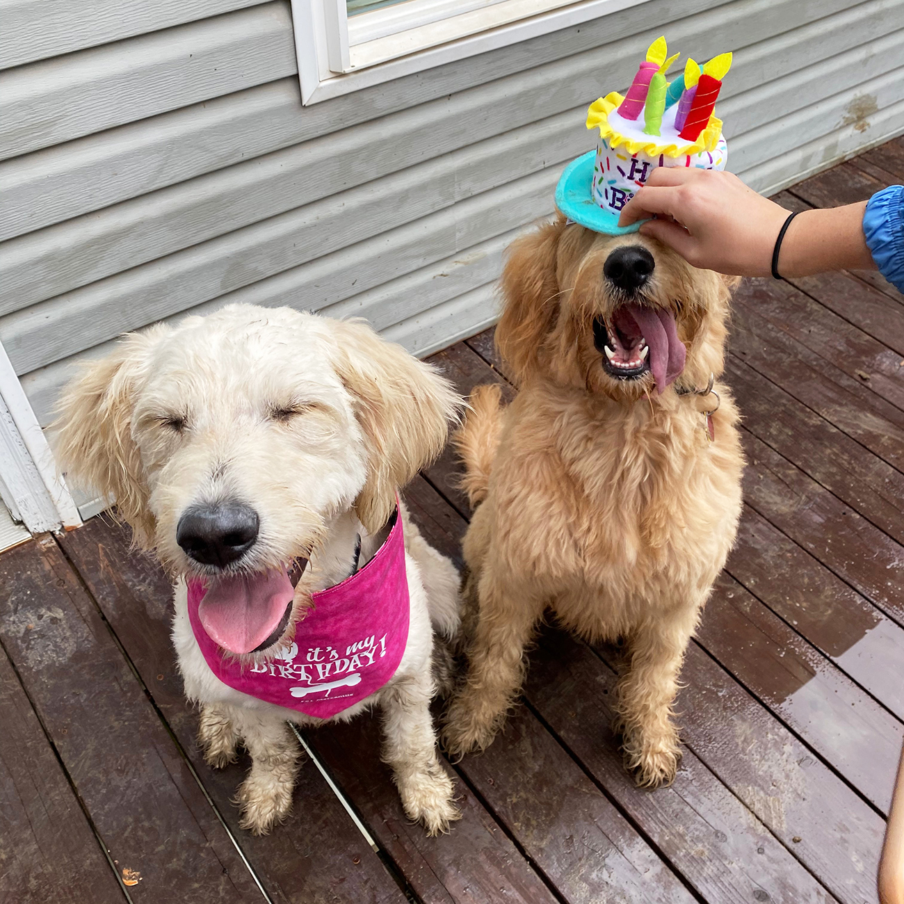 Large blond dogs wear birthday accessories while sitting on outside deck