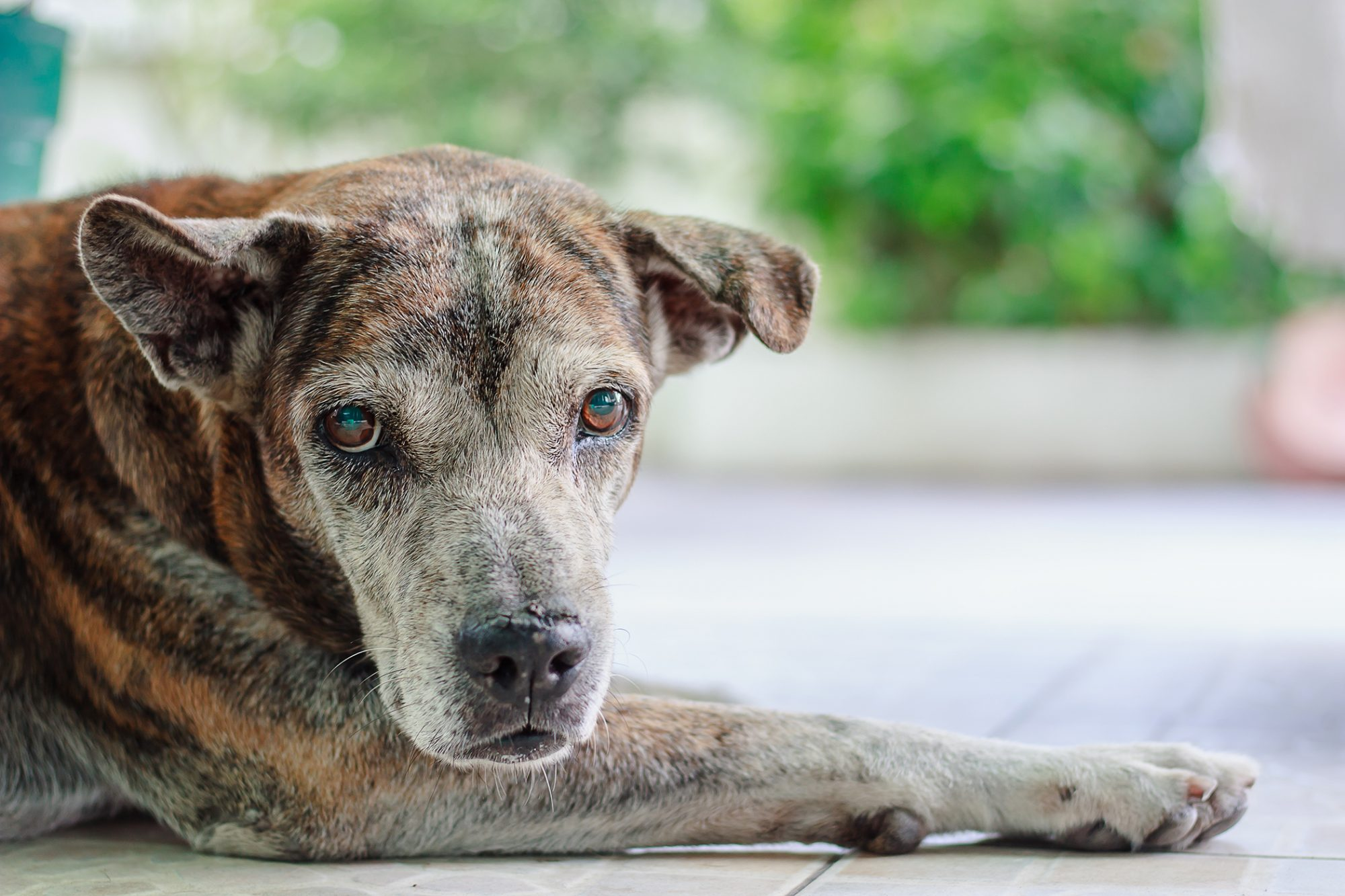 Portrait of mutt dog laying outside on porch