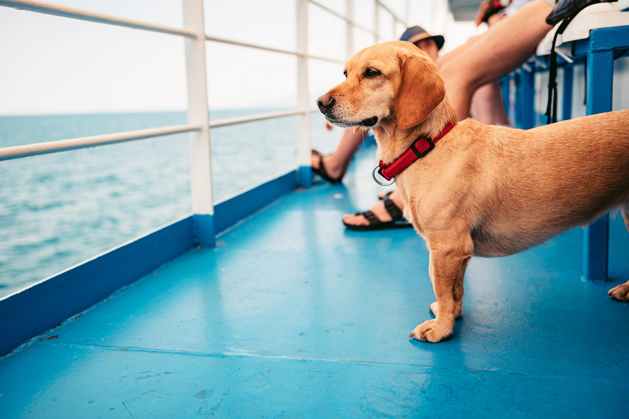 Small dog gazes at water while riding on ferry