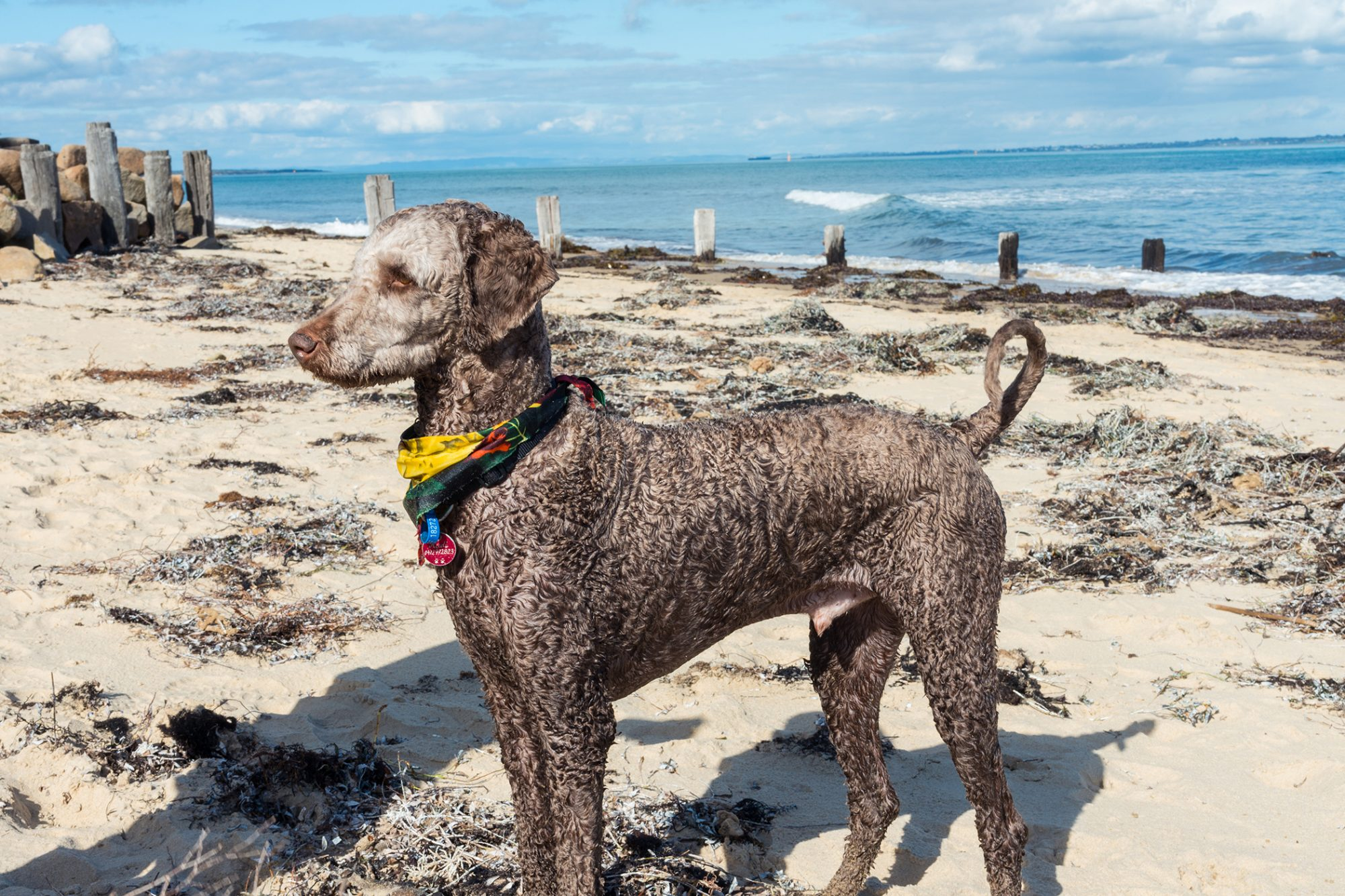 Standard poodle dog on a beach in Melbourne, Australia