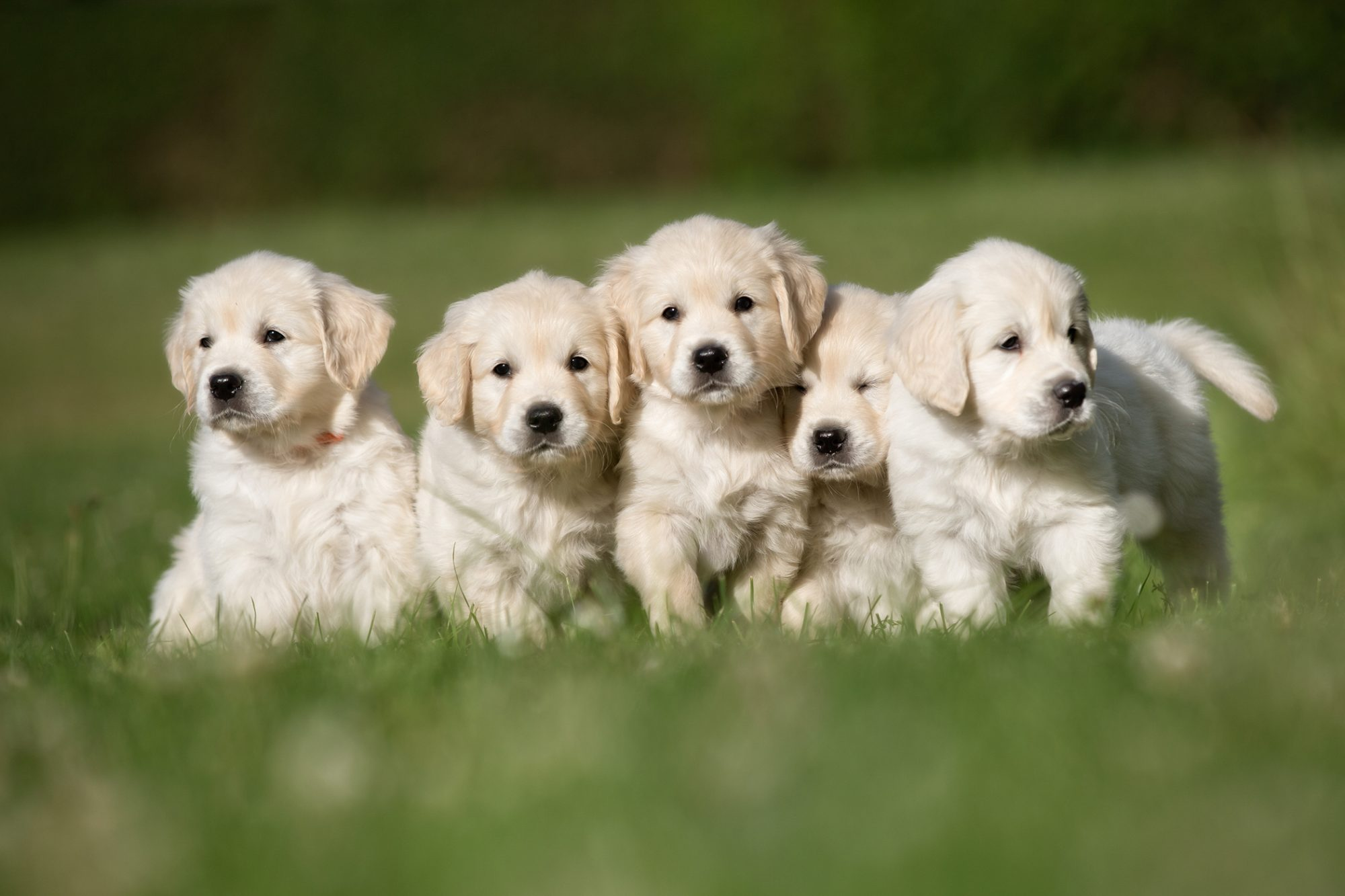 Litter of five golden retriever puppies outside in grass