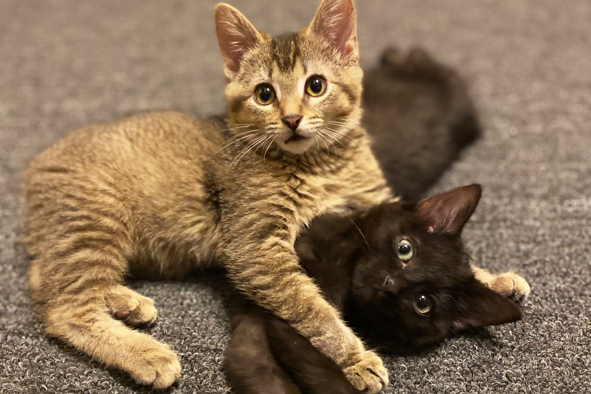 tabby kitten with black kitten