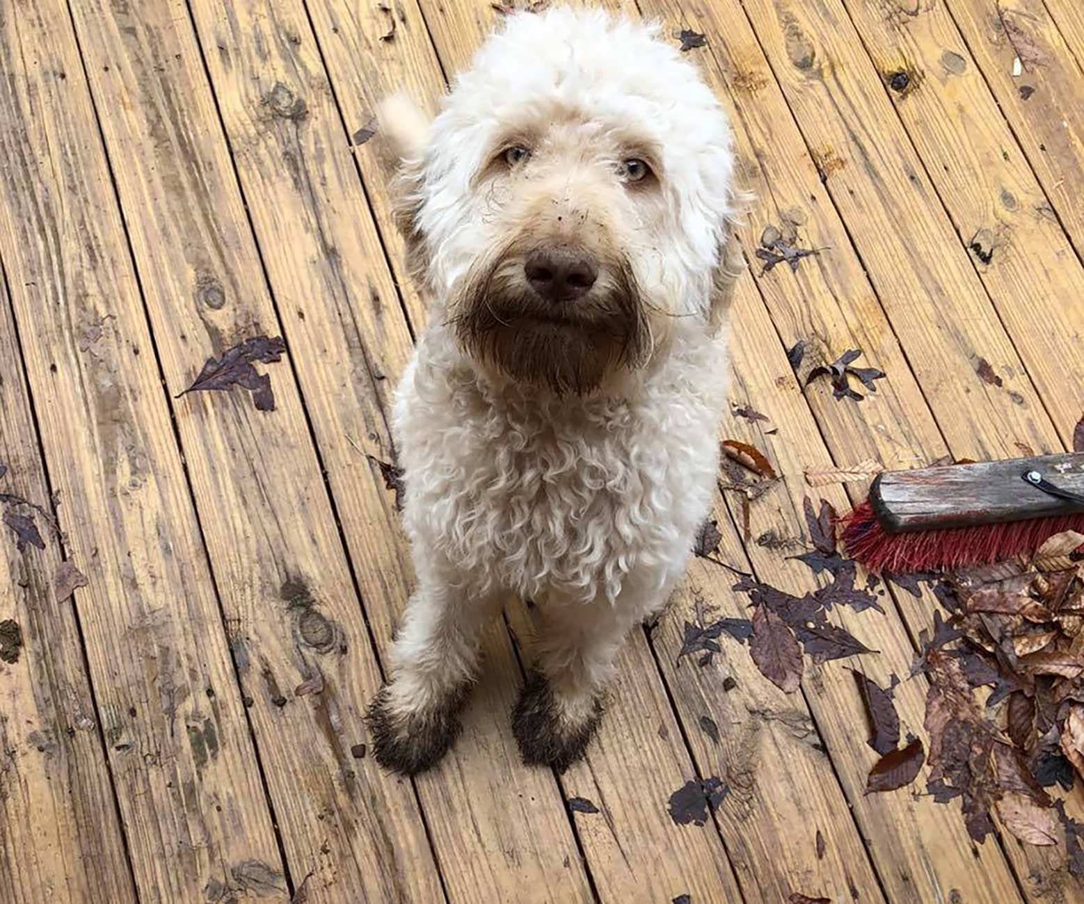 white dog on deck with leaves and muddy paws