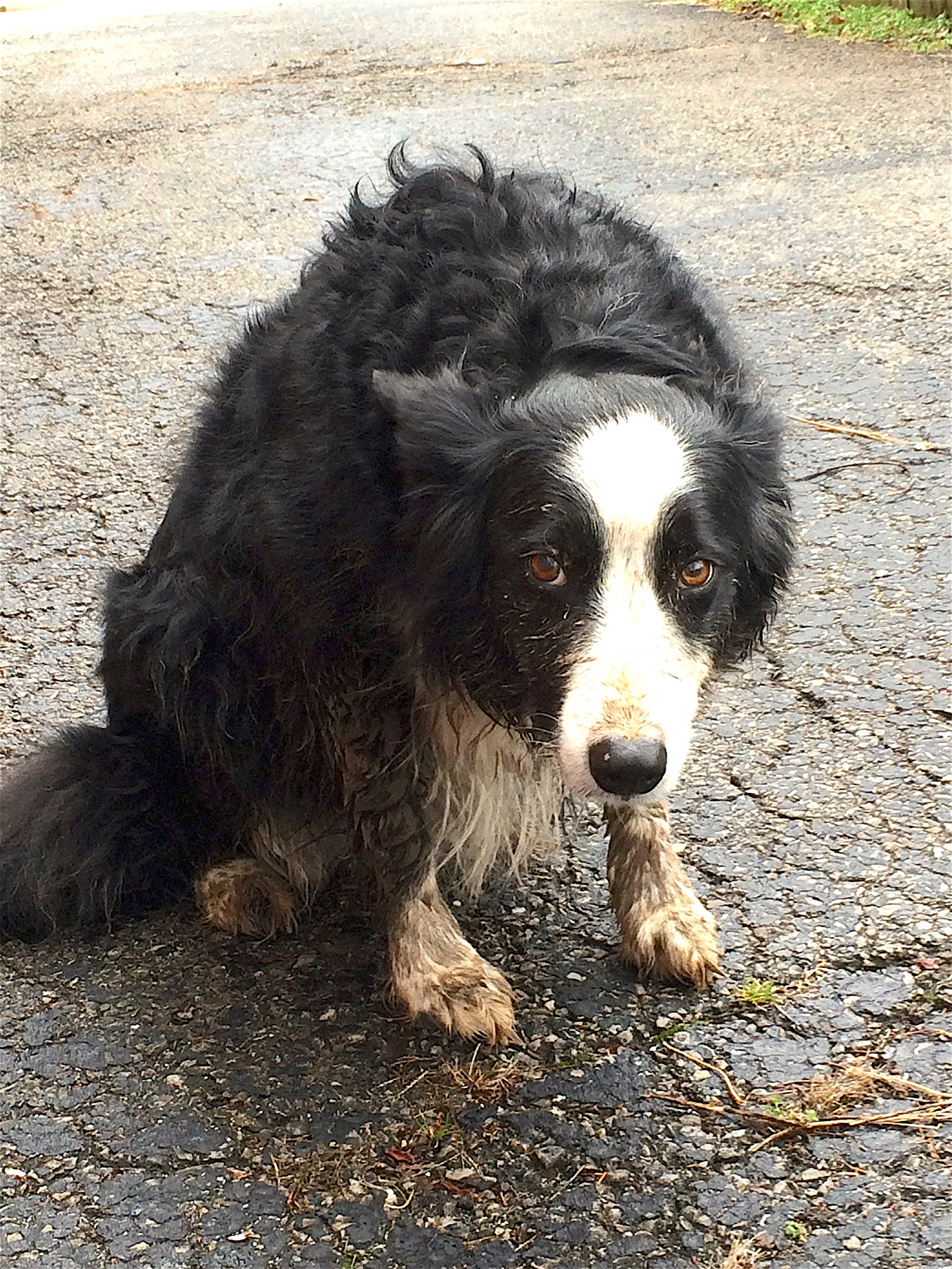 muddy border collie looking guilty